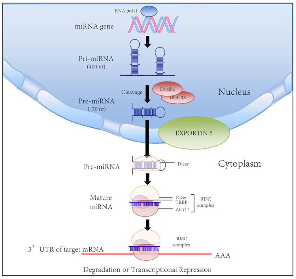 MicroRNAs in the Cholangiopathies: Pathogenesis, Diagnosis, and Treatment