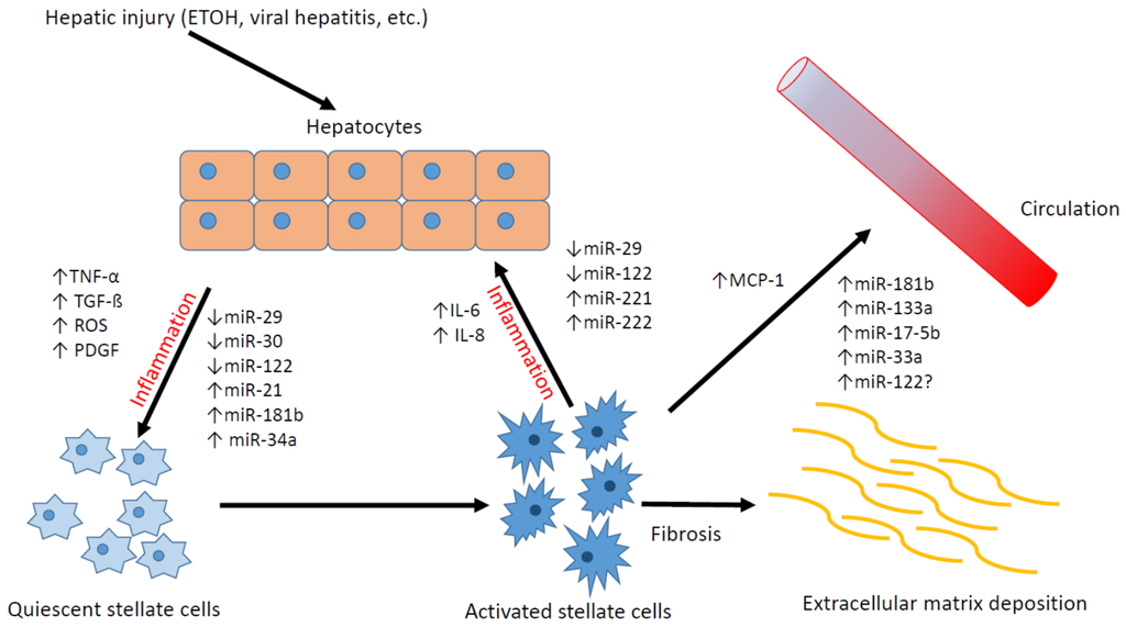 Jcm Free Full Text Hepatic Stellate Cells And Micrornas In