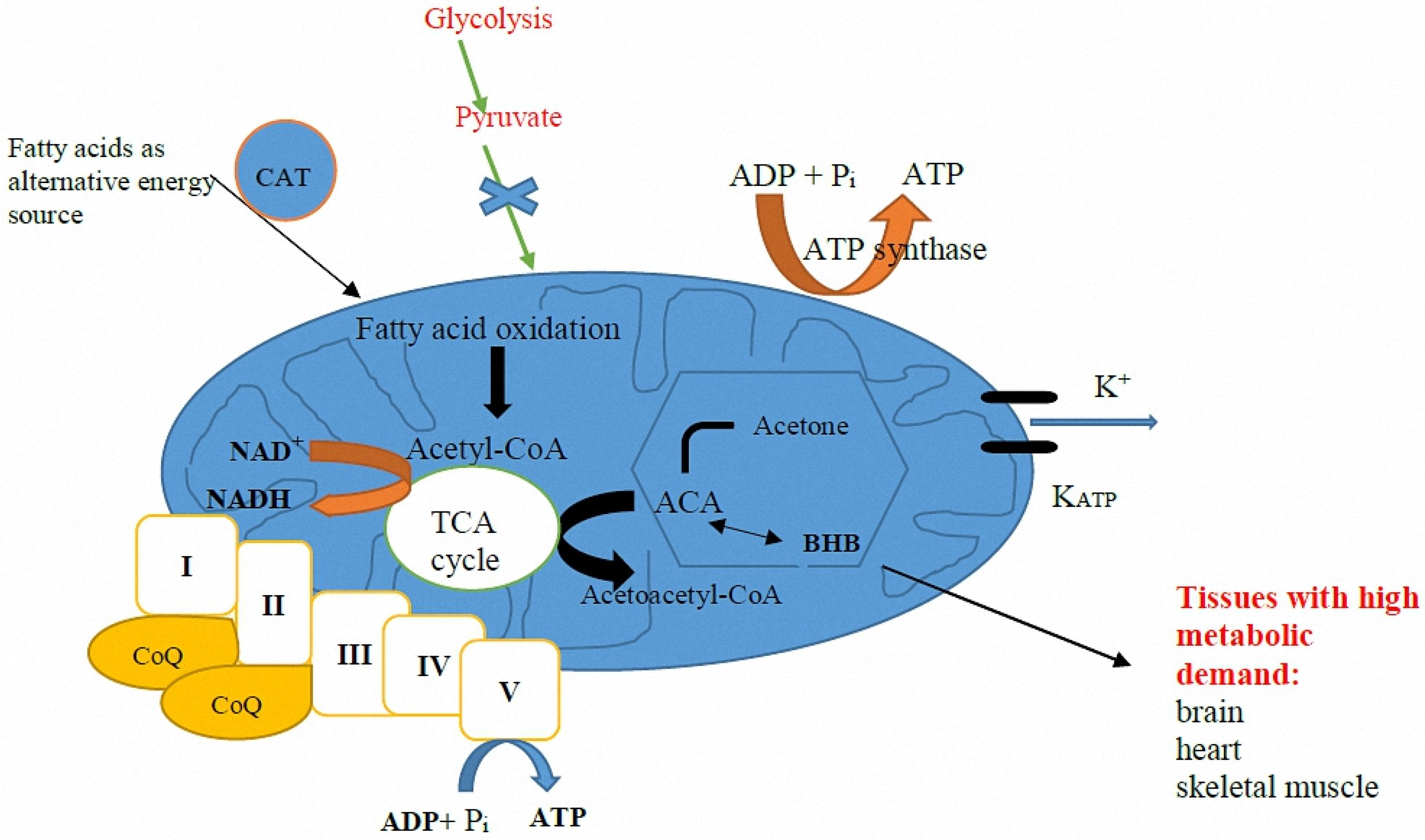 JCM   Free Full-Text   Use of the Ketogenic Diet to Treat Intractable Epilepsy in Mitochondrial ...