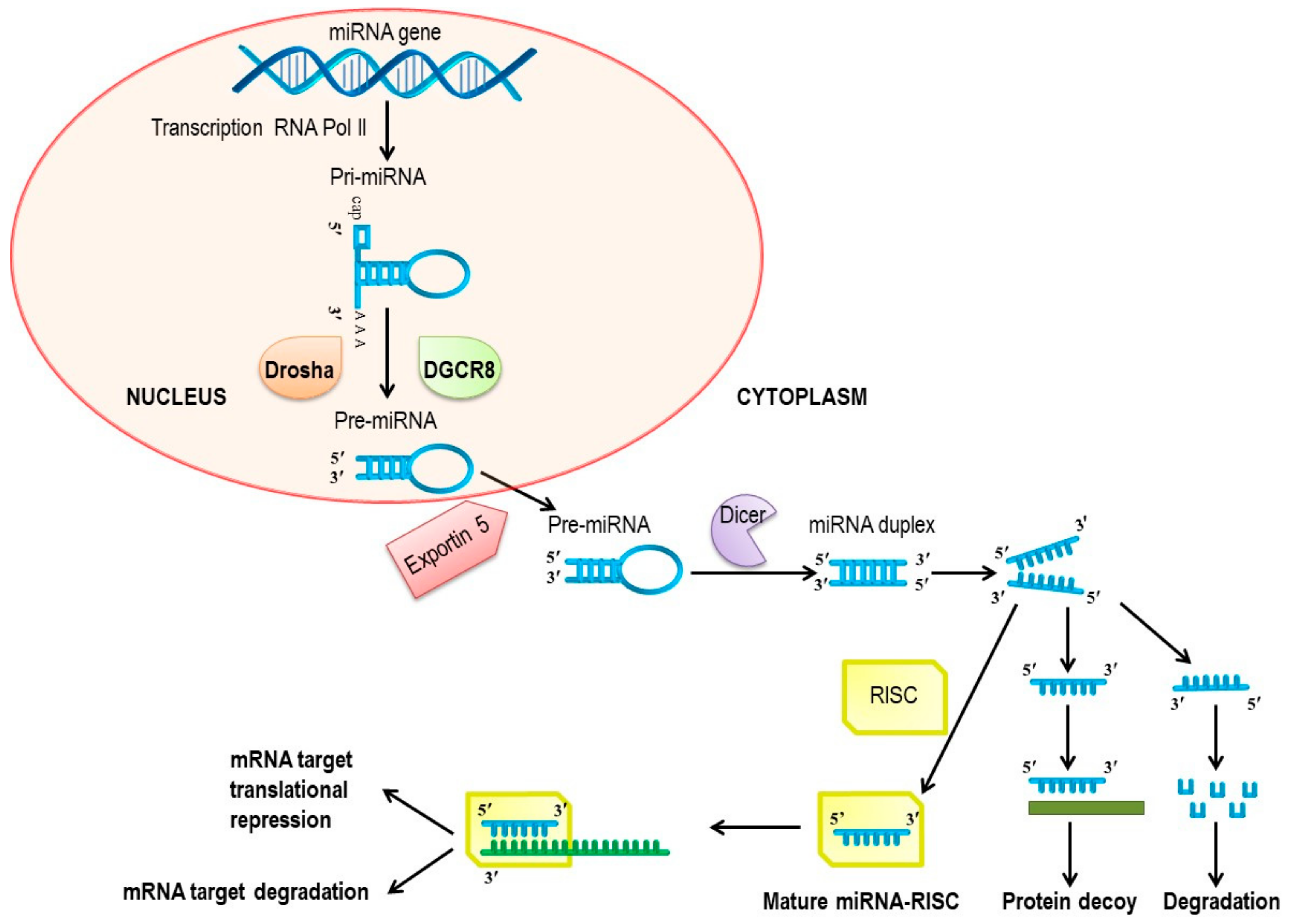 Effects Of Therapeutic Probiotics On Modulation Of Micrornas