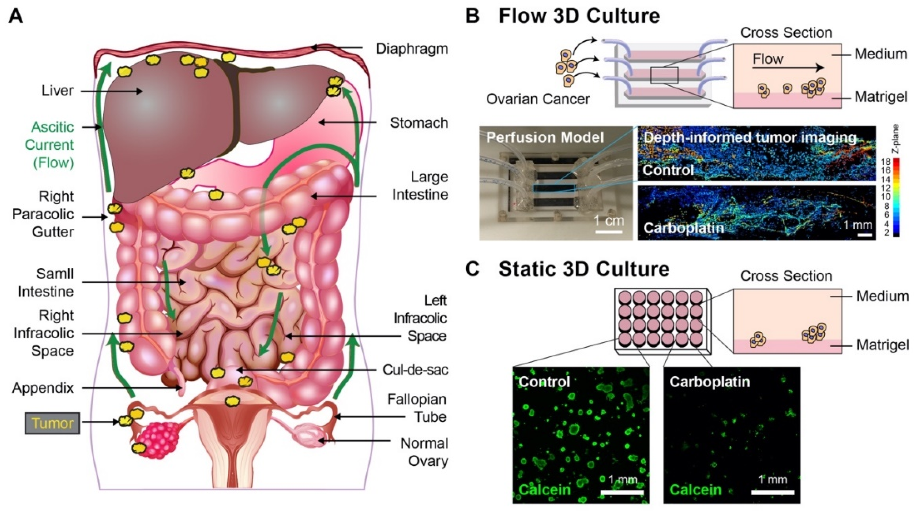 Jcm Free Full Text Flow Induced Shear Stress Confers Resistance To Carboplatin In An Adherent Three Dimensional Model For Ovarian Cancer A Role For Egfr Targeted Photoimmunotherapy Informed By Physical Stress