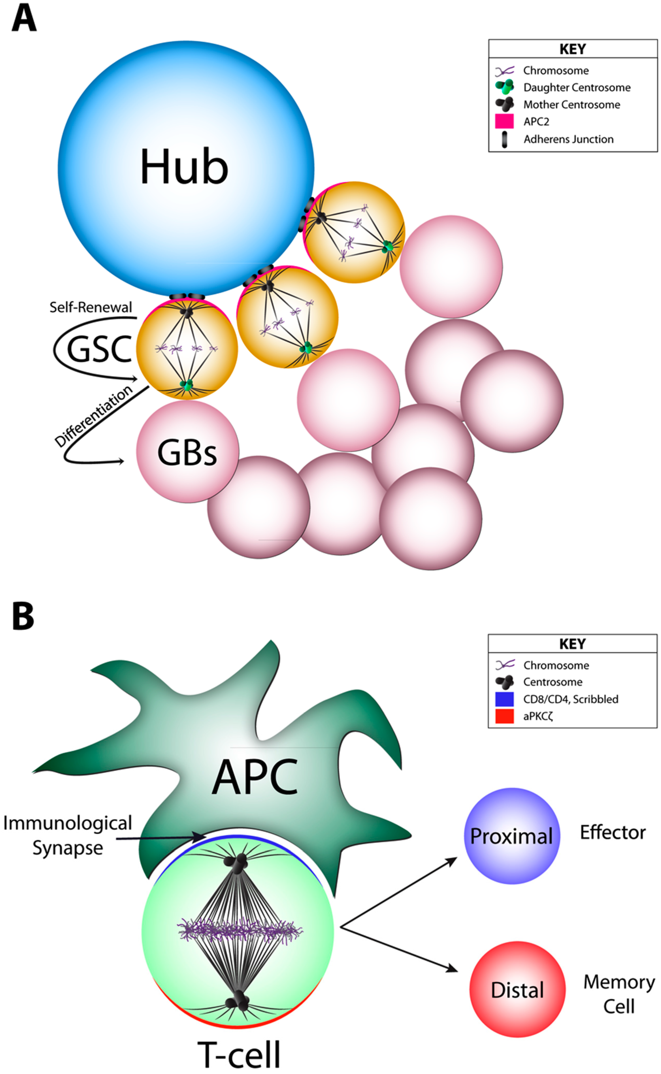 JDB | Free Full-Text | Cell Fate Decision Making through Oriented