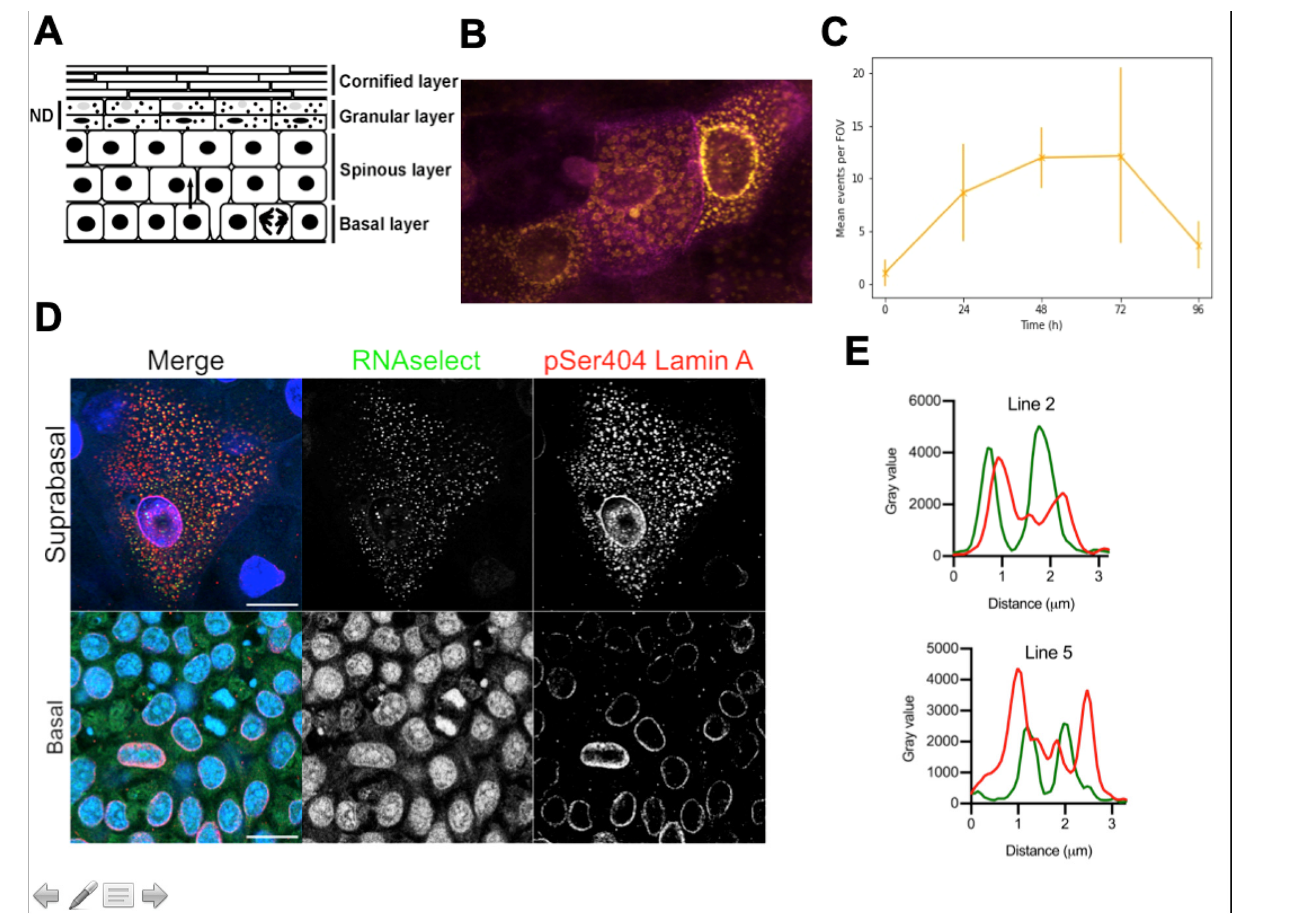 Jdb Free Full Text Perspective Controlling Epidermal Terminal Differentiation With Transcriptional Bursting And Rna Bodies Html View lawrence sonntag's profile on linkedin, the world's largest professional community. epidermal terminal differentiation