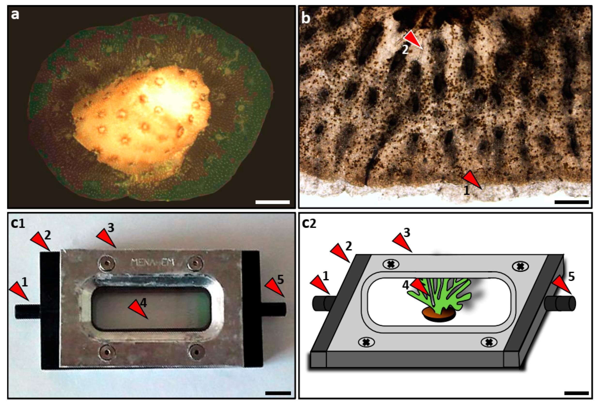 JMSE   Free Full-Text   Rapid Recruitment of Symbiotic Algae