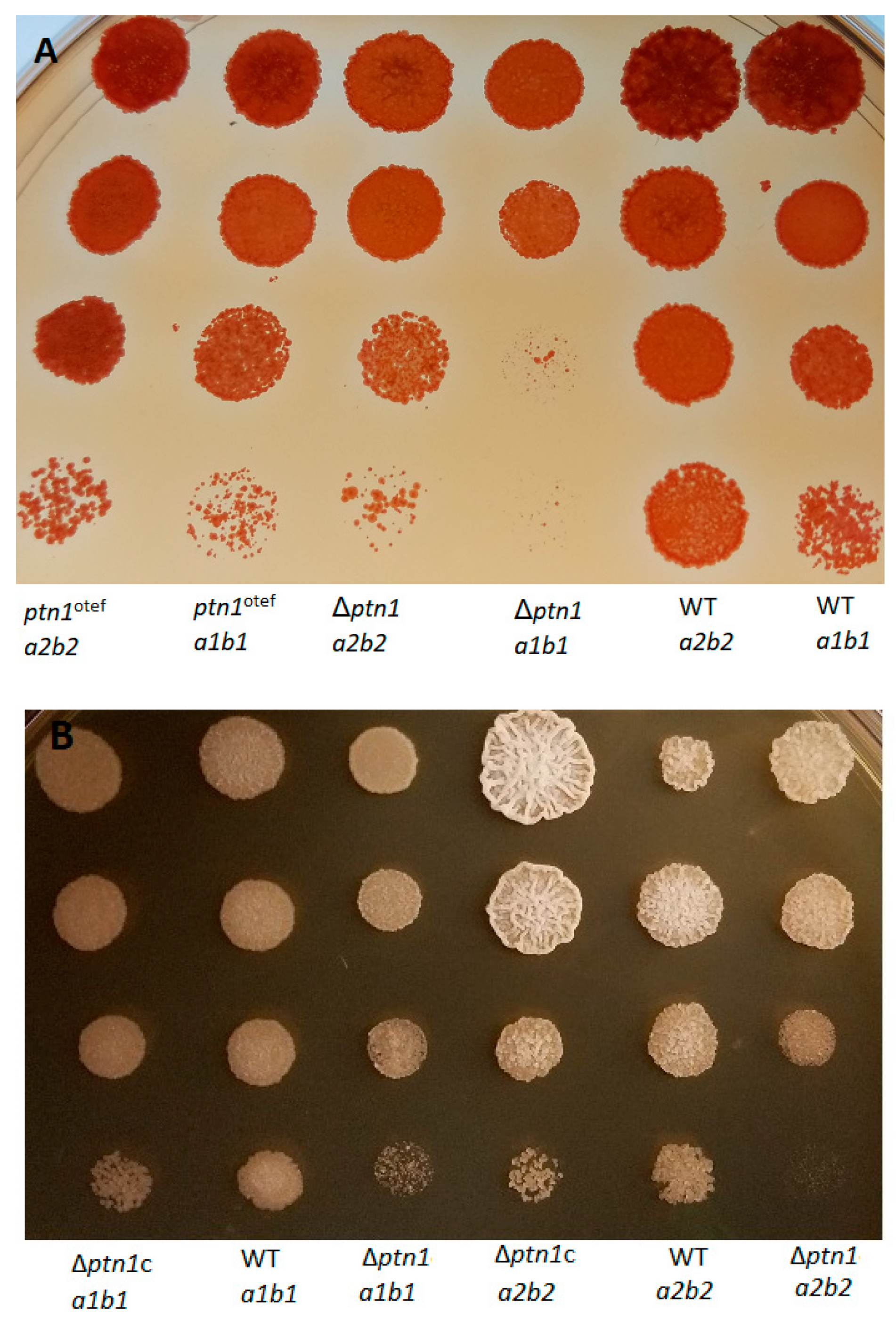 JoF | Free Full-Text | Deletion of ptn1, a PTEN/TEP1 Orthologue, in