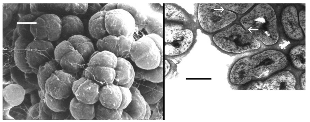 life free fulltext properties of halococcus