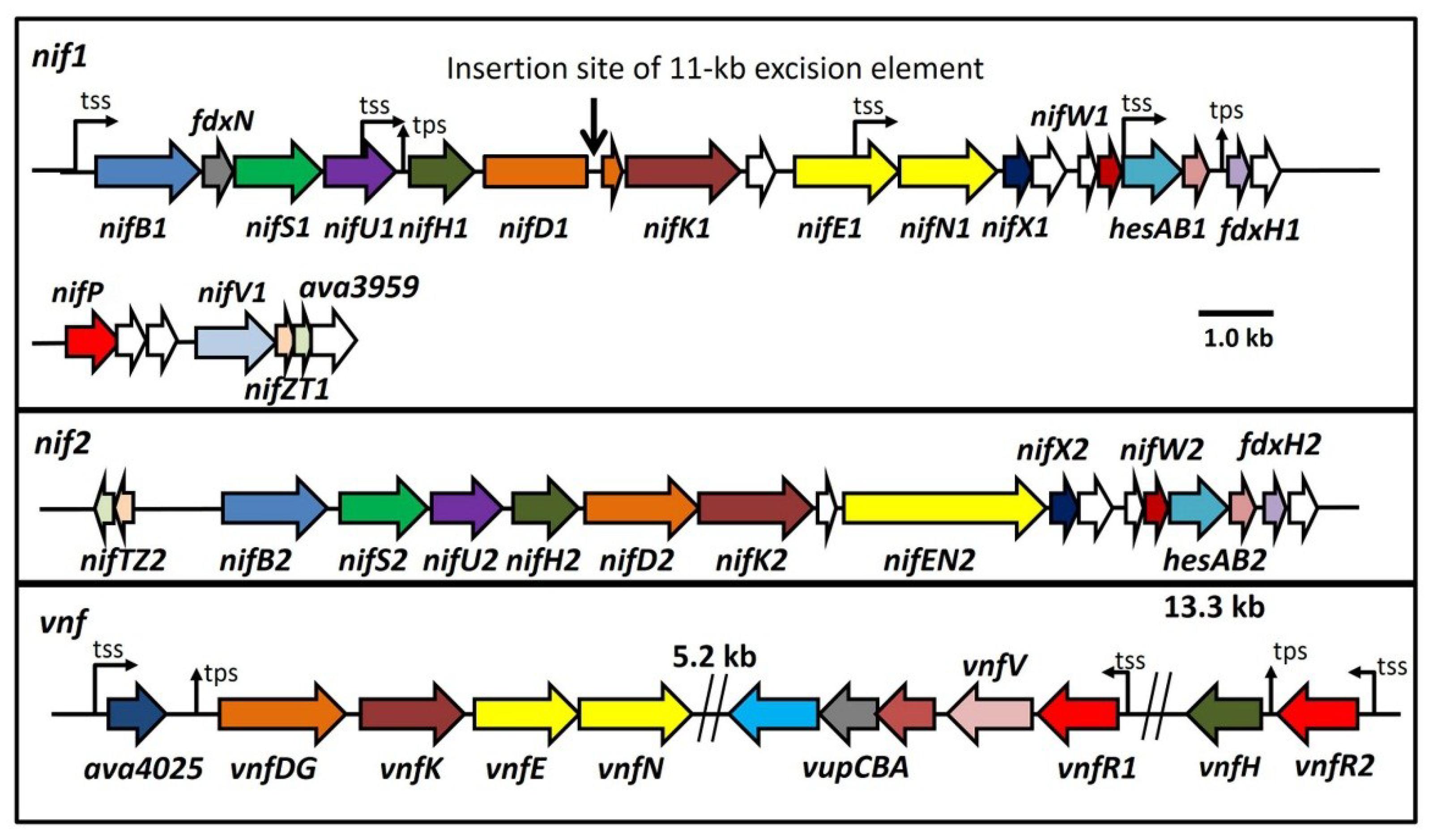 Life free full text regulation of three nitrogenase gene life 04 00944 g001 1024 ccuart Gallery