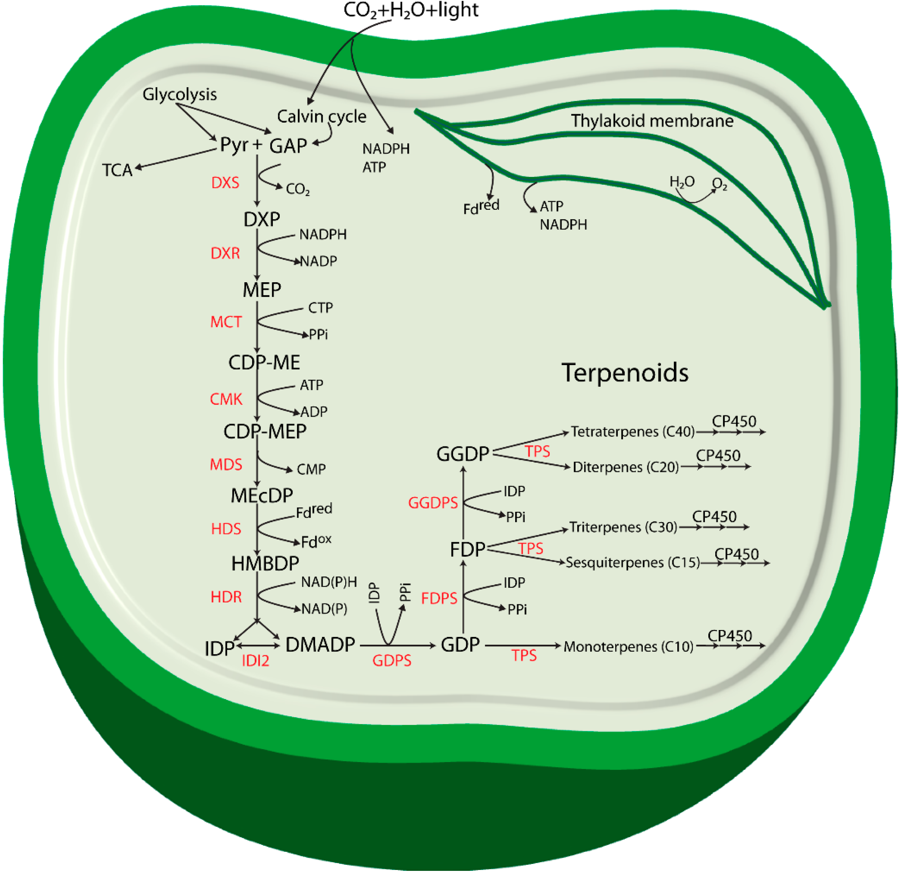 life free full text terpenoids and their biosynthesis in