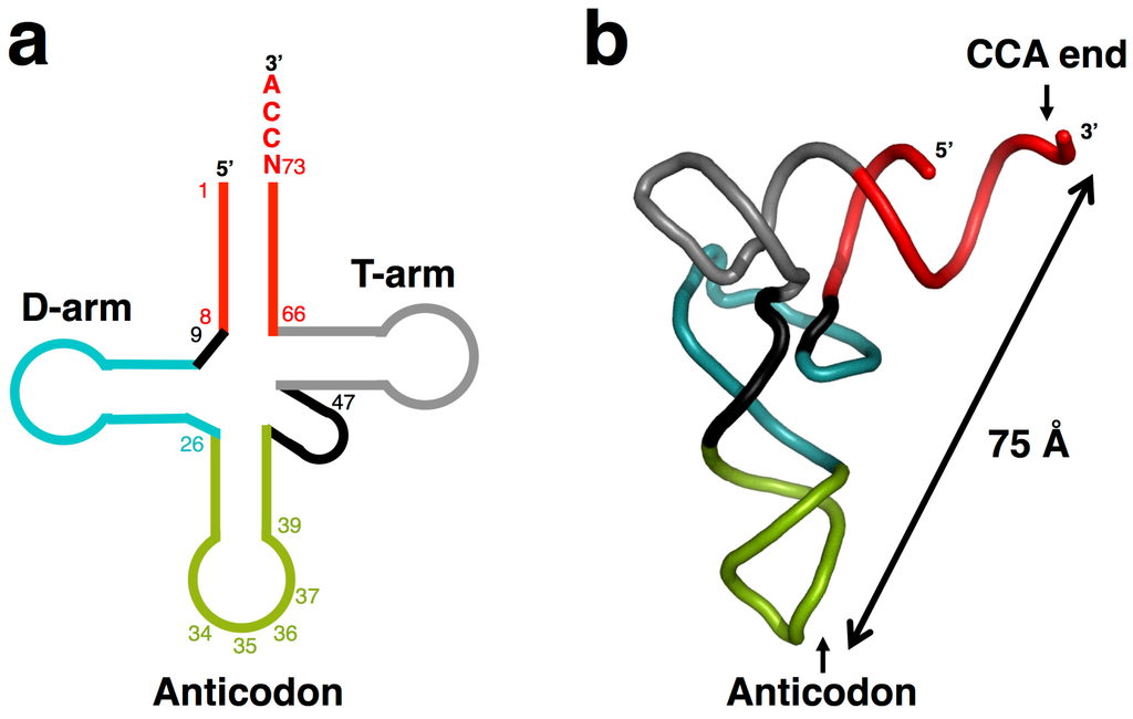 Origins and Early Evolution of the tRNA Molecule