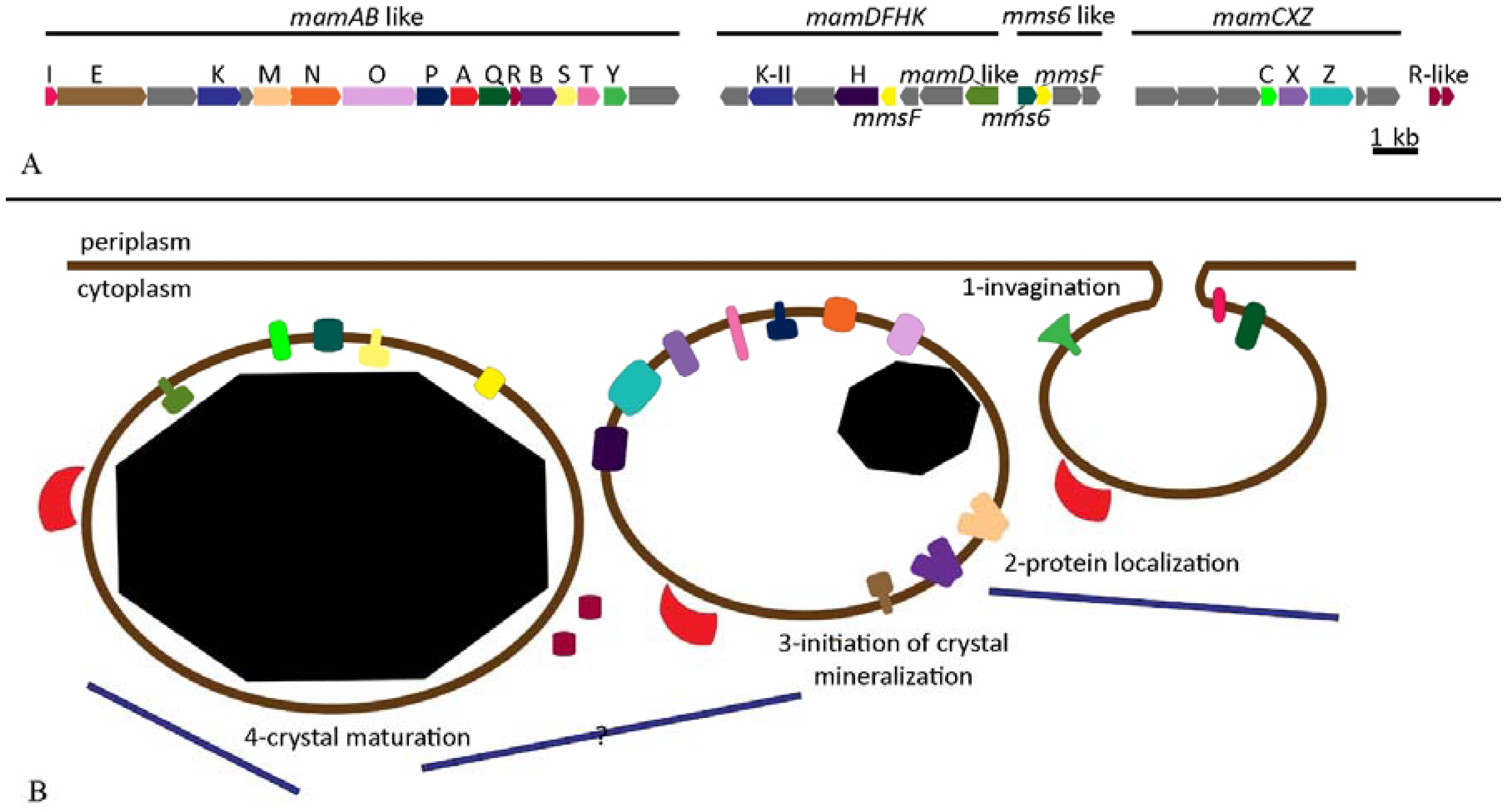 Applications of Magnetosomes Synthesized by Magnetotactic Bacteria in Medicine
