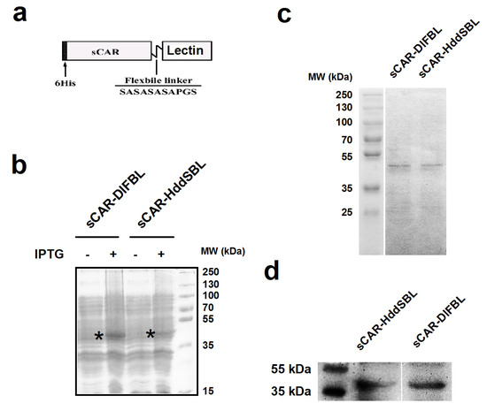 Marine Lectins DlFBL and HddSBL Fused with Soluble Coxsackie-Adenovirus Receptor Facilitate Adenovirus Infection in Cancer Cells BUT Have Different Effects on Cell Survival