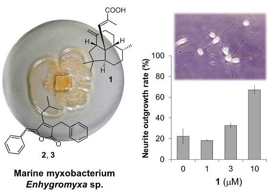 An Unusual Diterpene—Enhygromic Acid and Deoxyenhygrolides from a Marine Myxobacterium, Enhygromyxa sp.