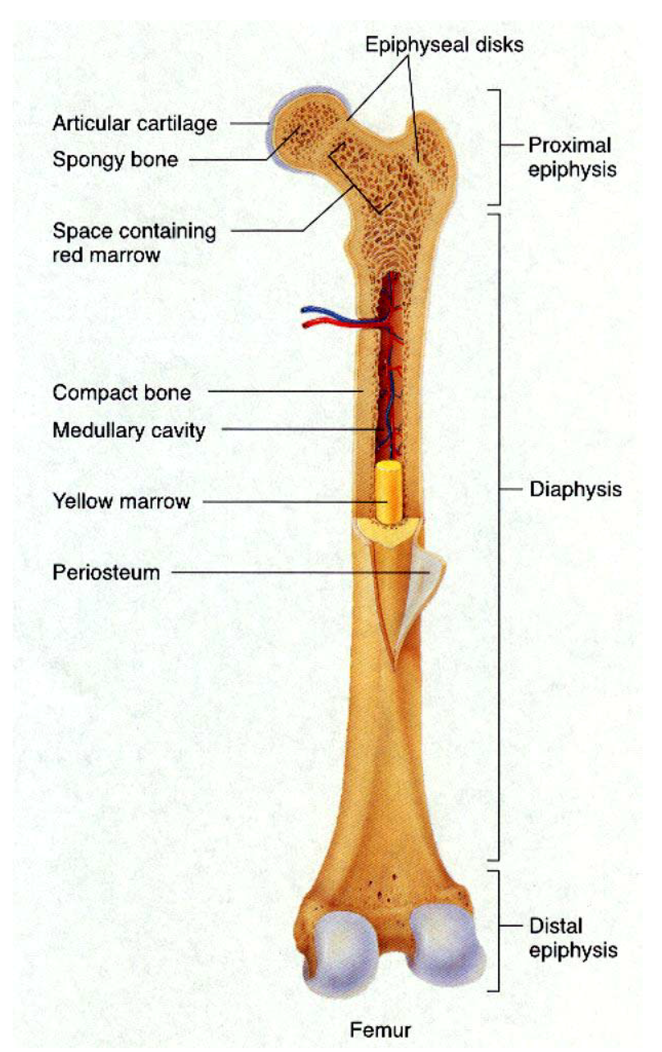 Which Letter Indicates The Region Of A Long Bone That Contains The