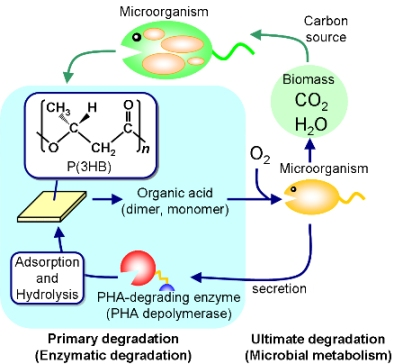 Engineered Biosynthesis of Fungal 4-Quinolone Natural Products