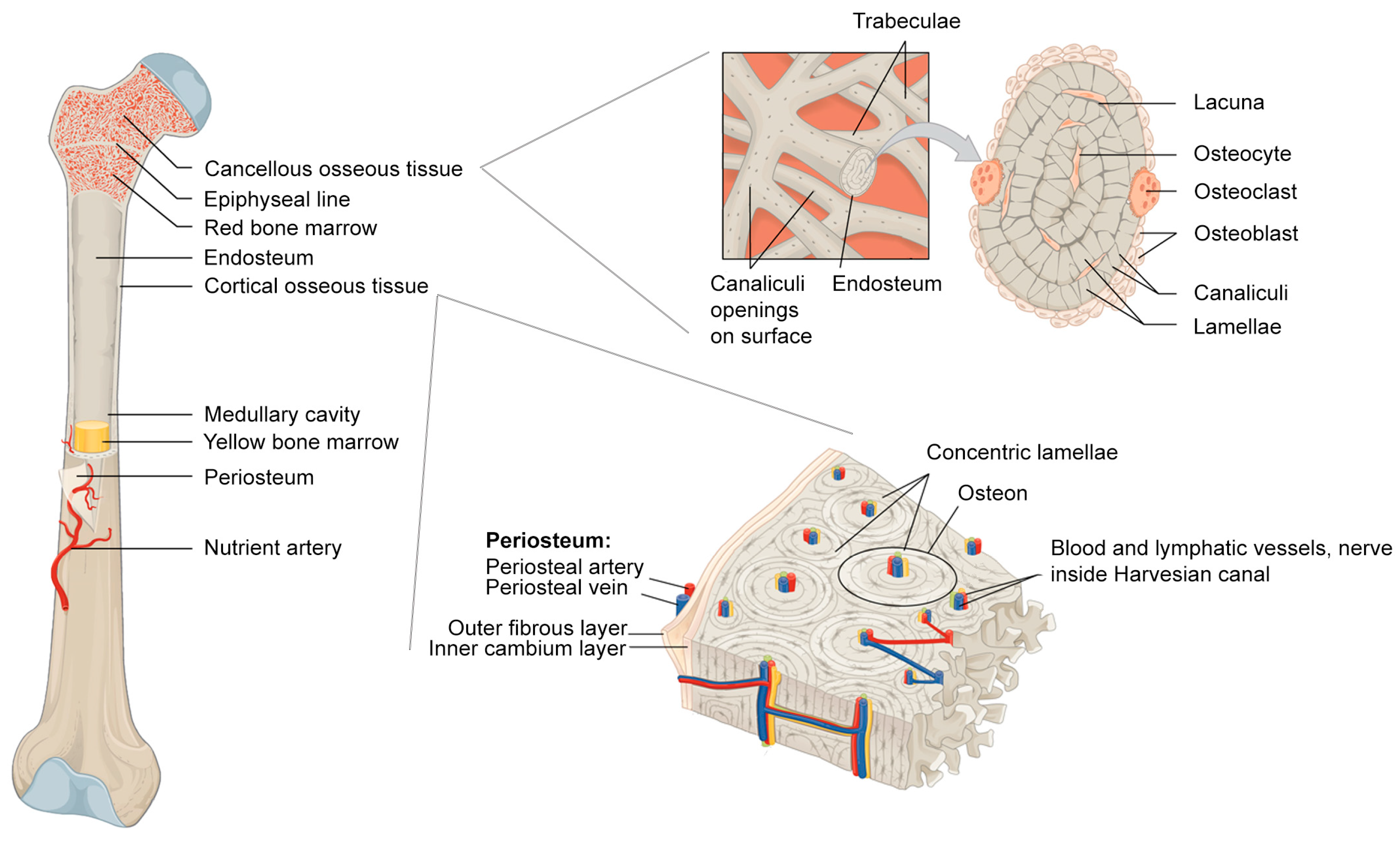 Materials Free Full Text The Components Of Bone And What They
