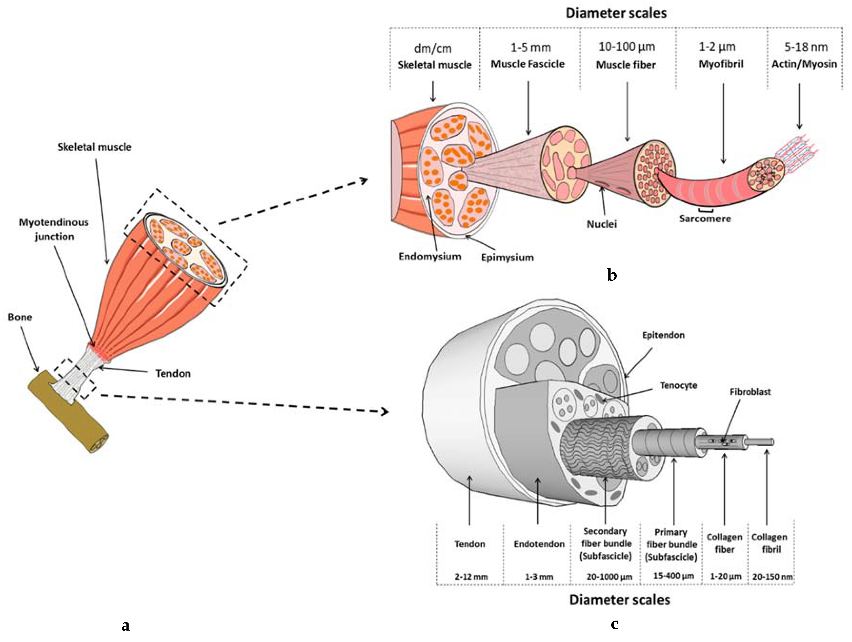 materials | free full-text | biomaterials in tendon and skeletal
