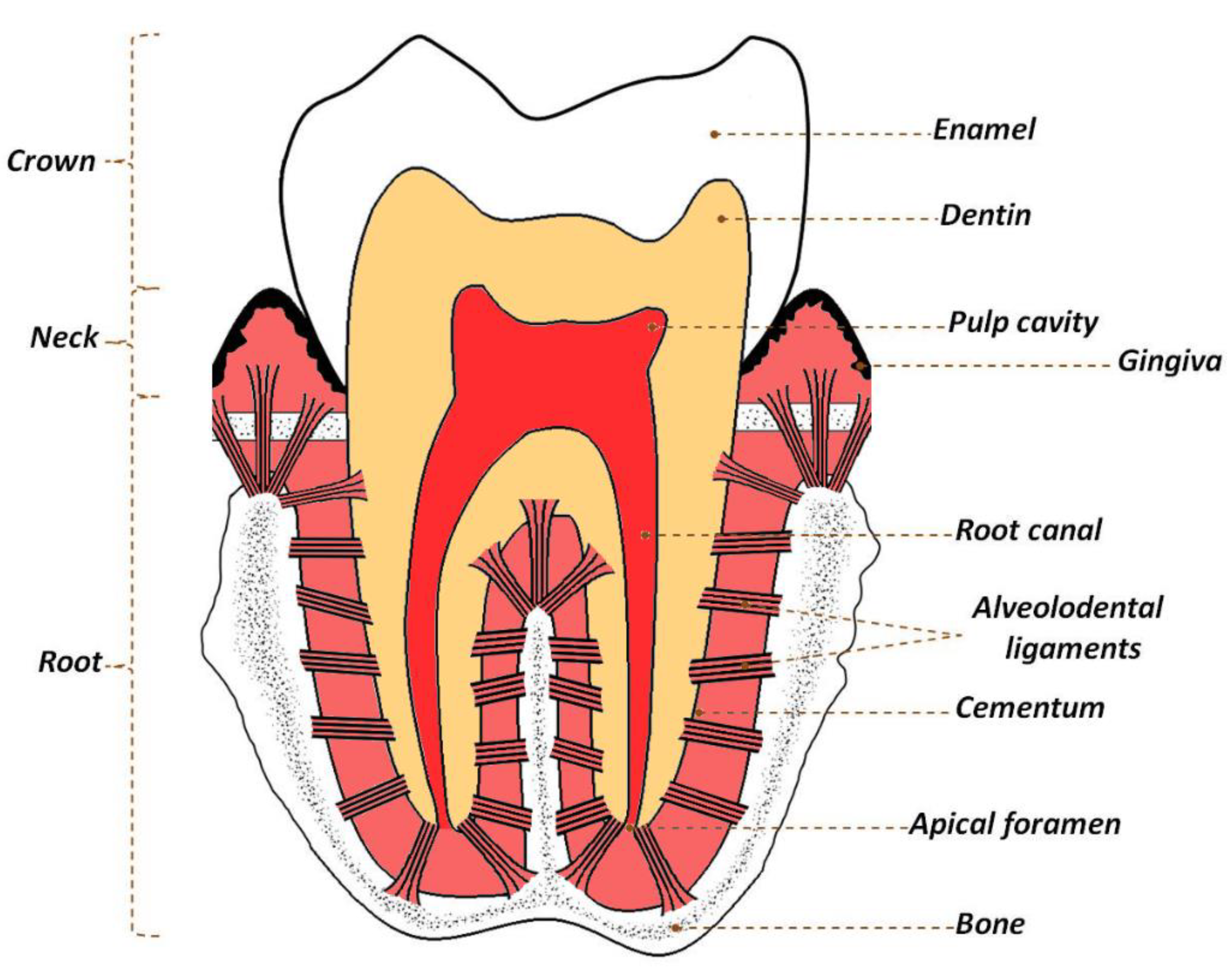 Materials | Free Full-Text | Hydroxyapatite and Fluorapatite in  Conservative Dentistry and Oral Implantology—A Review | HTML