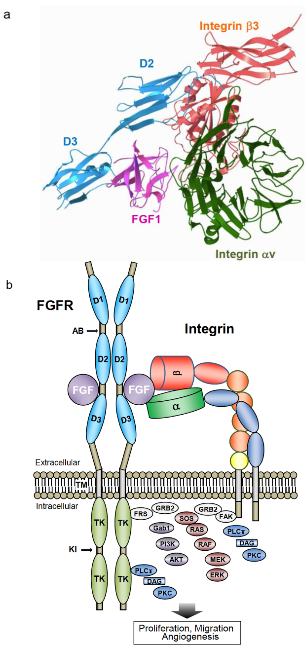 Crosstalk between Fibroblast Growth Factor (FGF) Receptor and Integrin through Direct Integrin Binding to FGF and Resulting Integrin-FGF-FGFR Ternary Complex FormationAbstract Share & Cite This ArticleRelated ArticlesArticle MetricsArticle Access StatisticsCommentsCitations