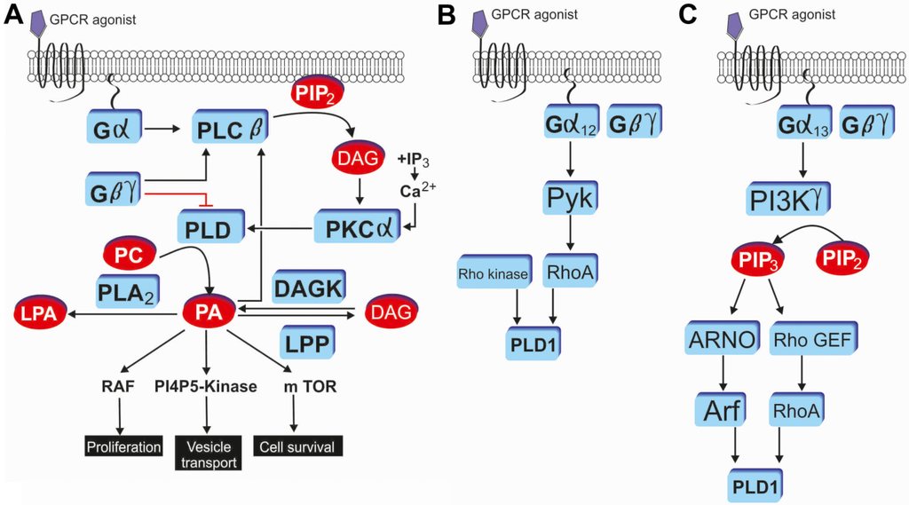 Membranes Free Full Text Role Of Phospholipase D In G