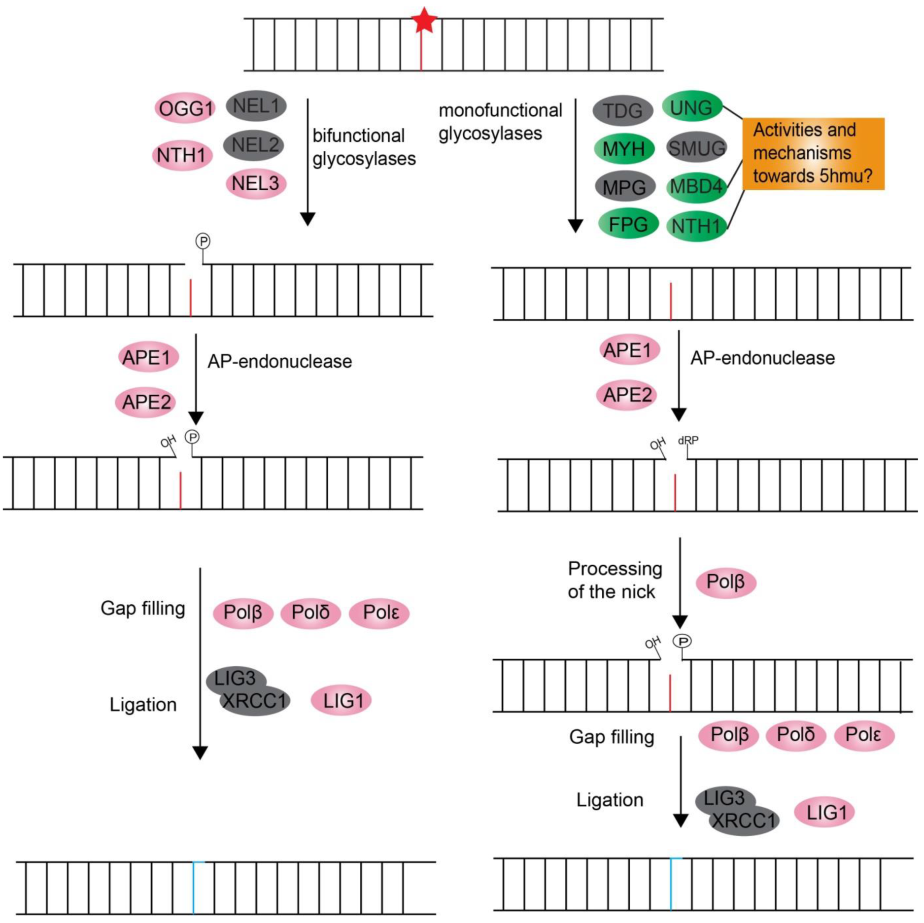 Microorganisms   Free Full-Text   DNA Damage Response
