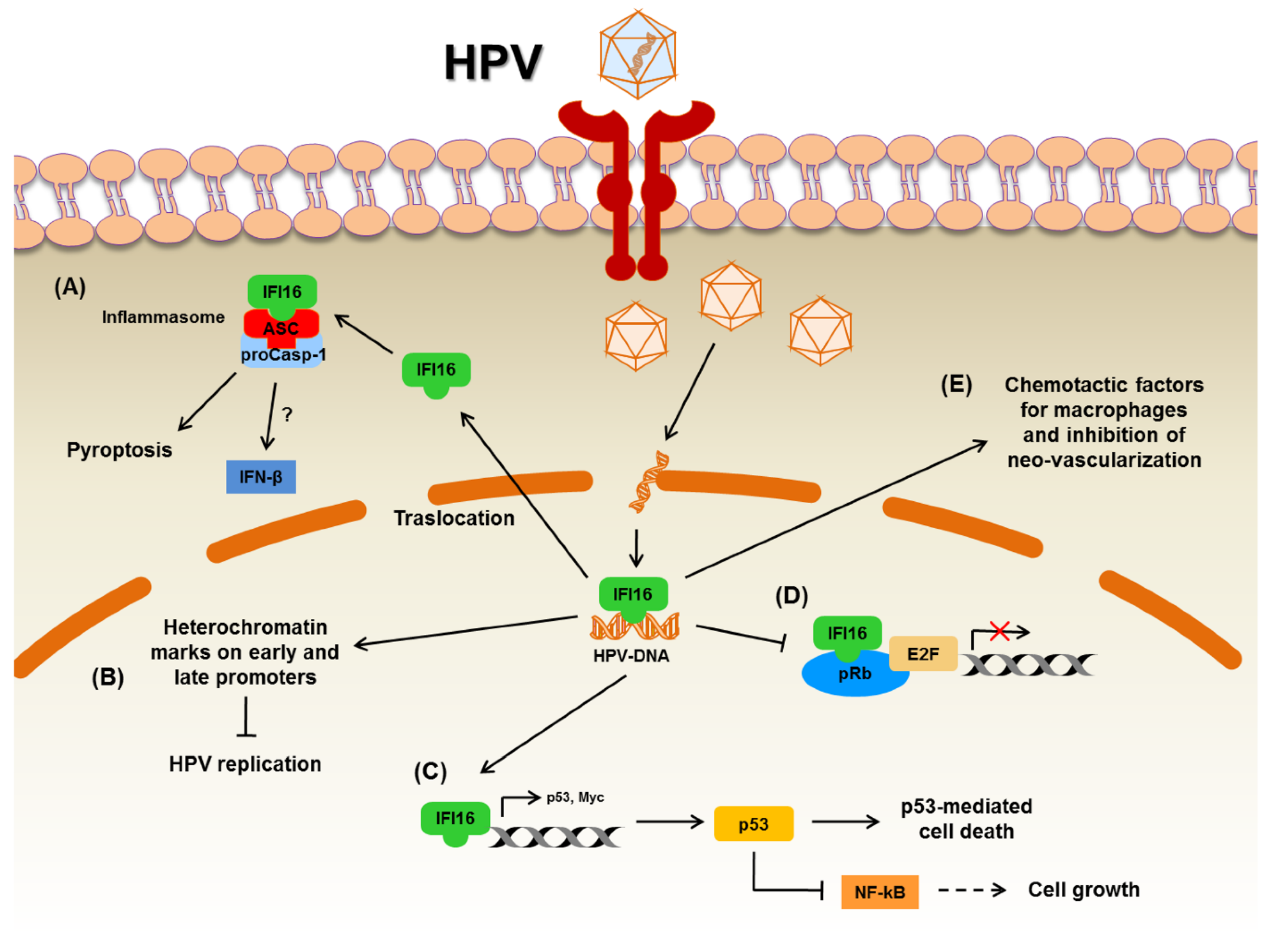 Hpv growth in throat - Hpv and growth