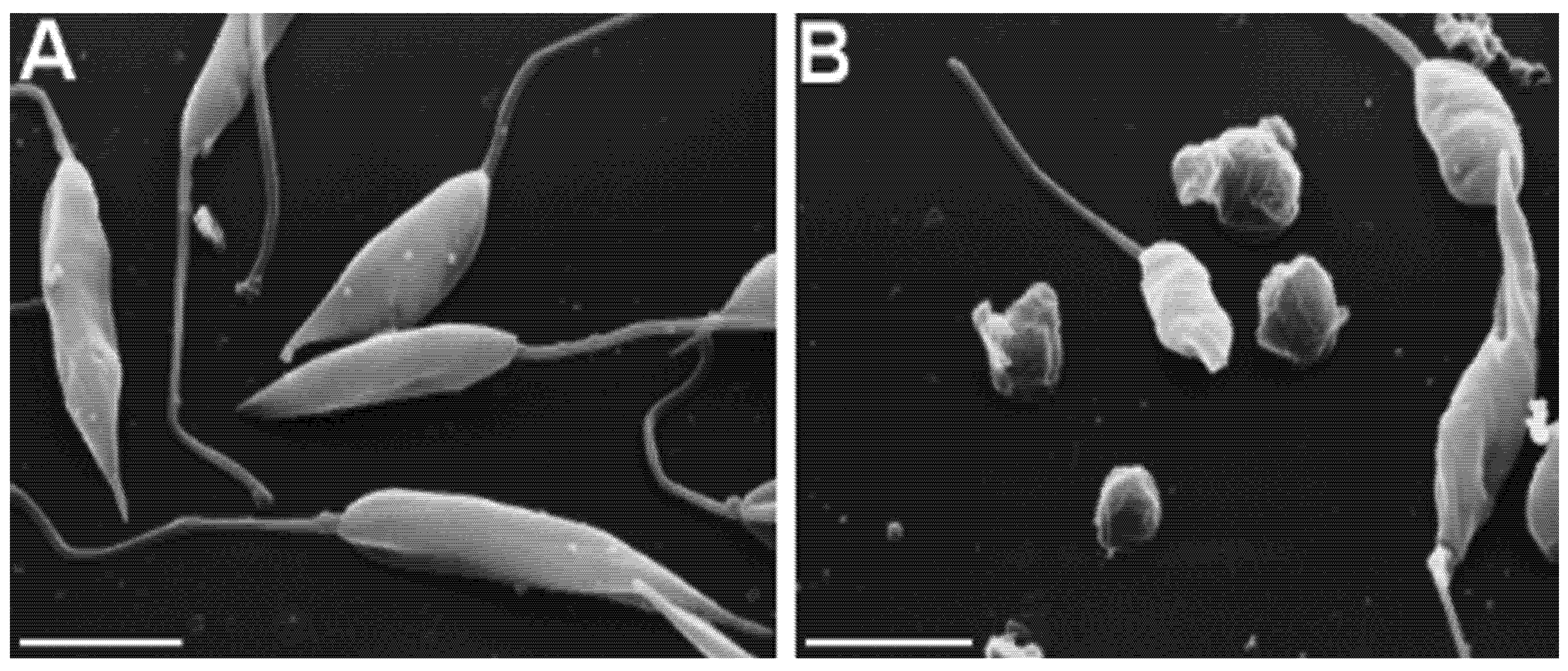 Lactones sesquiterpéniques — WikiPhyto