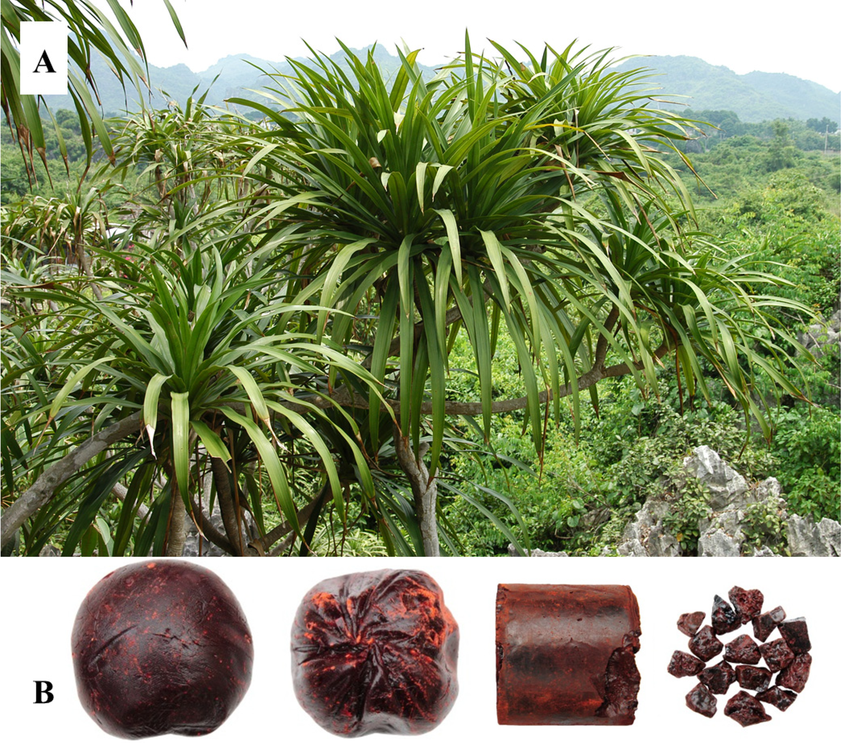Molecules Free Full Text A Systematic Review Of The Botanical Phytochemical And Pharmacological Profile Of Dracaena Cochinchinensis A Plant Source Of The Ethnomedicine Dragon S Blood Html