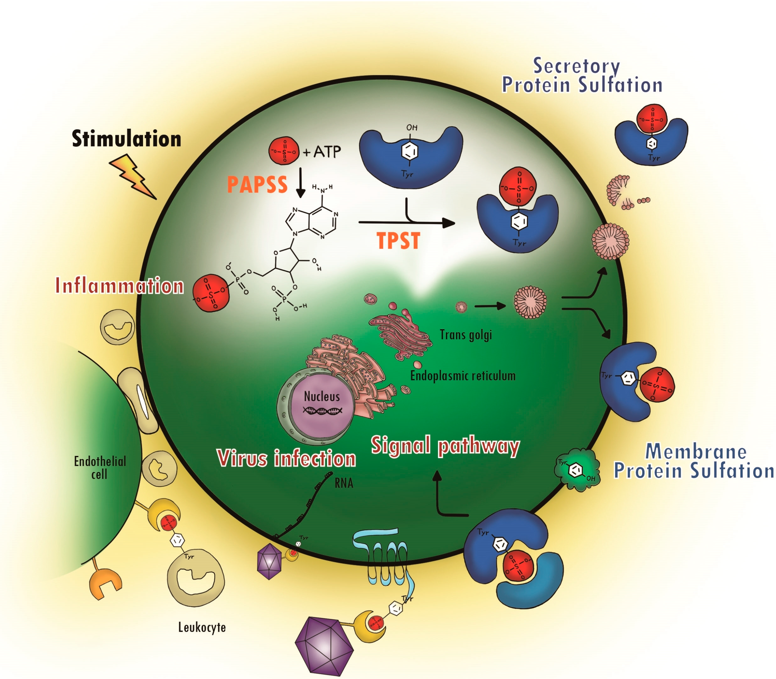 Molecules | Free Full-Text | Tyrosine Sulfation as a Protein Post ...