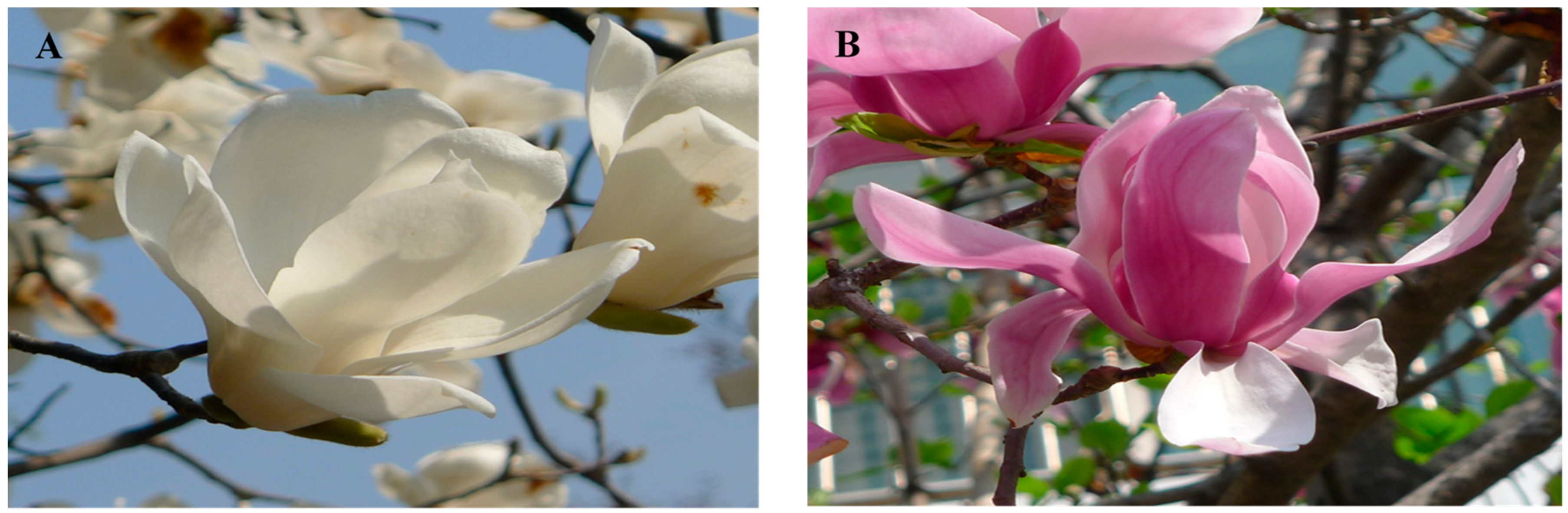 Molecules Free Full Text Analysis Of Metabolites In White Flowers Of Magnolia Denudata Desr And Violet Flowers Of Magnolia Liliiflora Desr Html