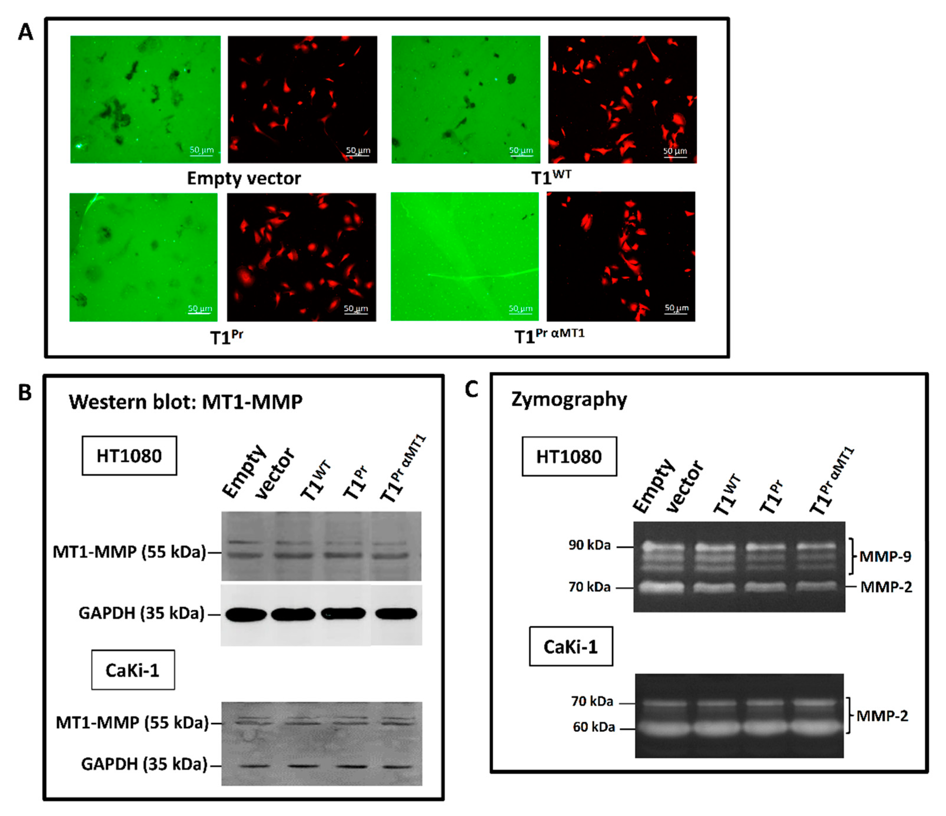 Molecules | Free Full-Text | Targeting a Designer TIMP-1 to the Cell