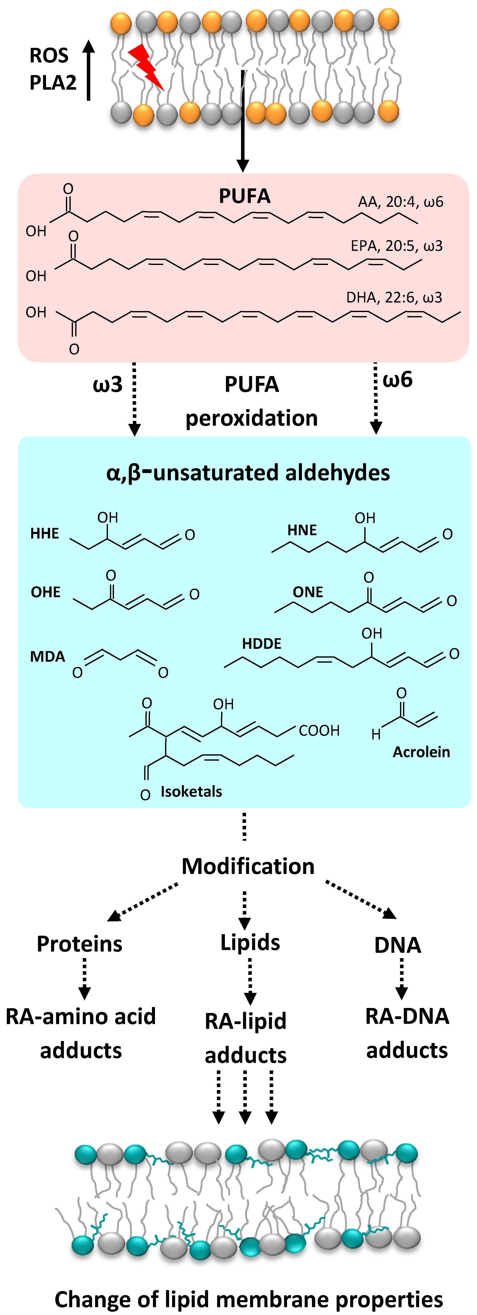 Molecules | Free Full-Text | The Role of Phosphatidylethanolamine Adducts  in Modification of the Activity of Membrane Proteins under Oxidative Stress  | HTML