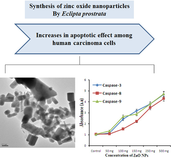 An Investigation of the Cytotoxicity and Caspase-Mediated Apoptotic Effect of Green Synthesized Zinc Oxide Nanoparticles Using Eclipta prostrata on Human Liver Carcinoma Cells