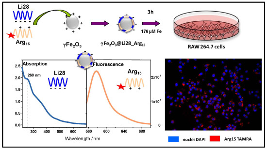 Iron Oxide Nanoparticles Coated with a Phosphorothioate Oligonucleotide and a Cationic Peptide: Exploring Four Different Ways of Surface Functionalization