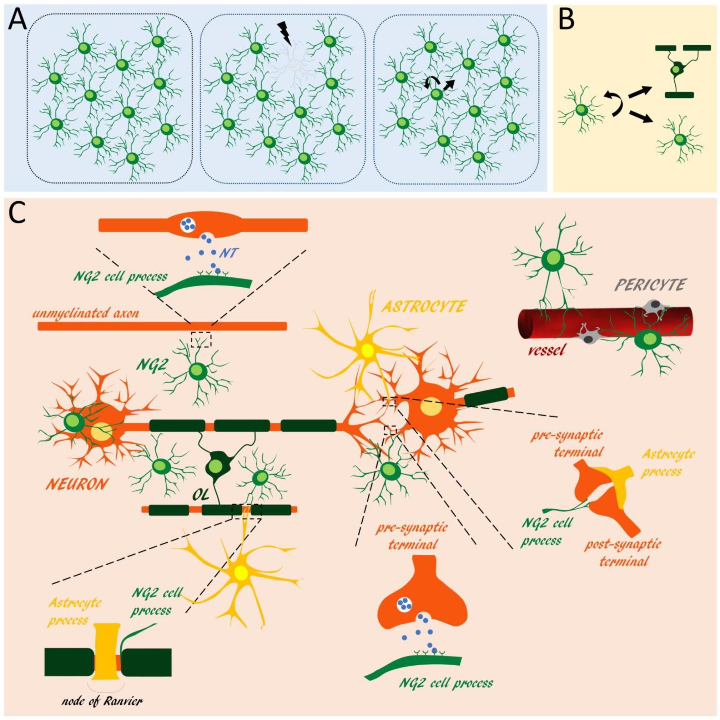 Neuroglia | Free Full-Text | NG2 Glia: Novel Roles beyond Re