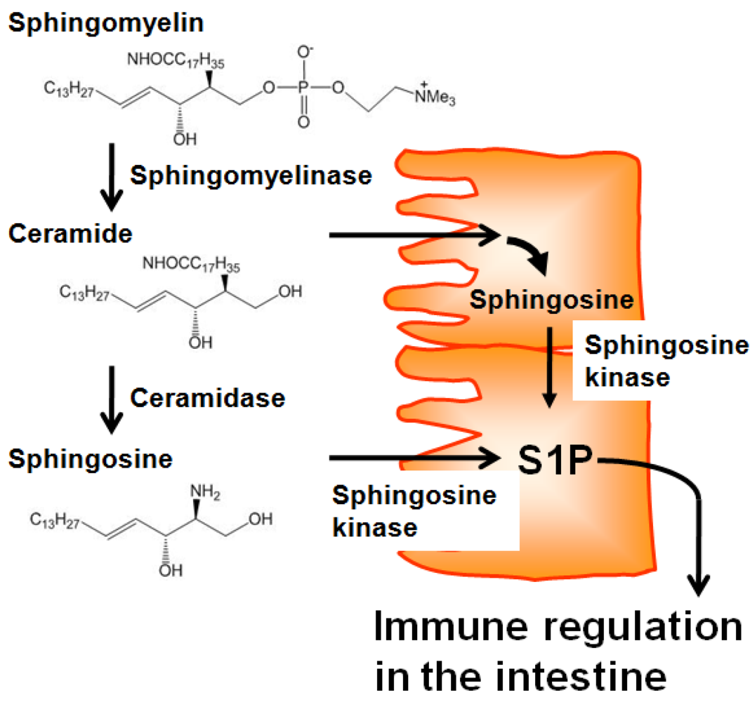 relationship between sphingosine and ceramide plump