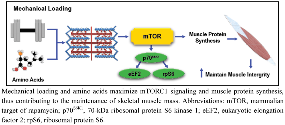 regulation of muscle hypertrophy essay Expressed and is essential for the down-regulation of mtor  regulation of mtor signaling in skeletal muscle hypertrophy k esser department of physiology, .