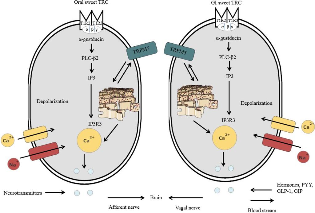 Vagus Nerve Brain Brain Via The Vagal Nerve