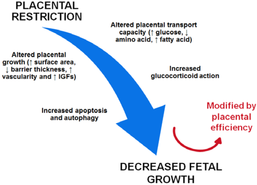 Nutrients Free Full Text Placental Adaptations In Growth