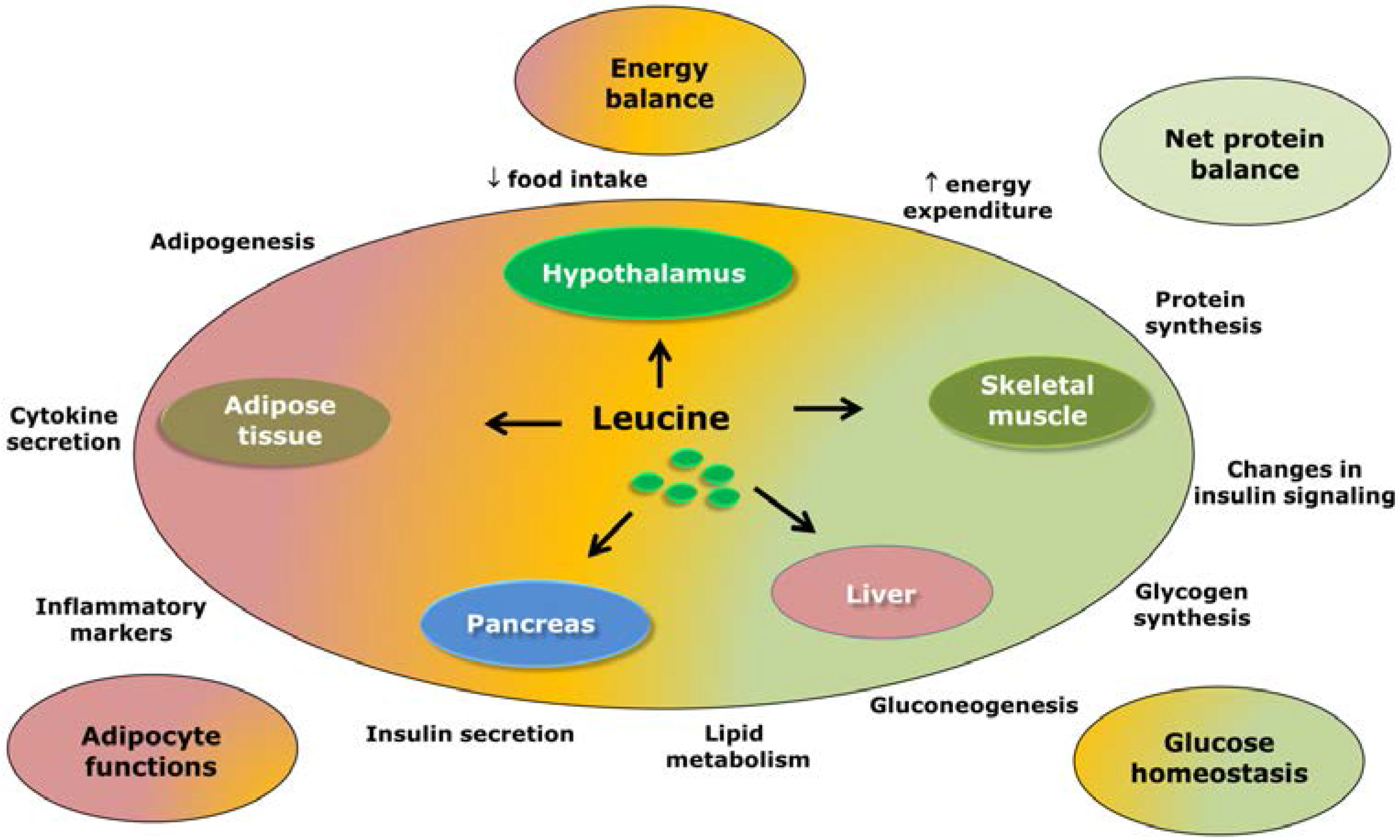 Nutrients | Free Full-Text | Reviewing the Effects of l