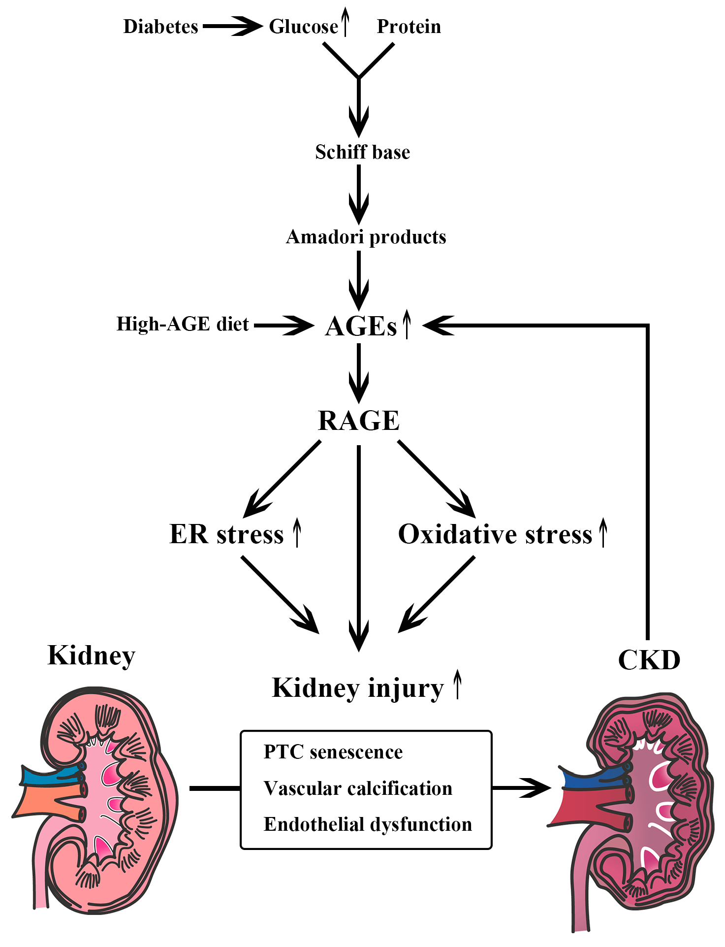 What distinguishes a diet for kidney disease 25