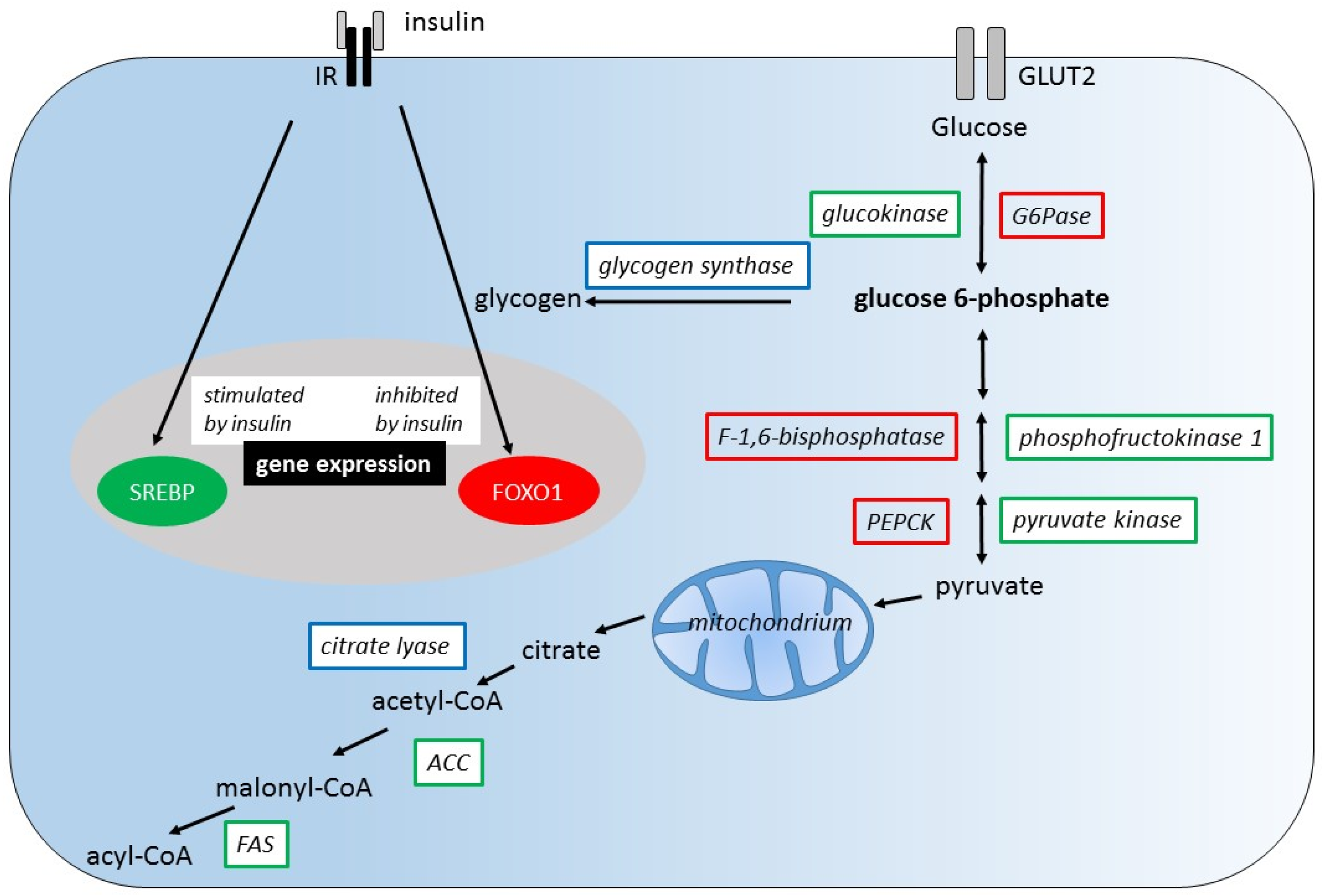 determine the activity of g6pase Molecular studies have lead to identify a gene family encoding the g6pase   studies reported that g6pase activity was been several fold higher in islets from.