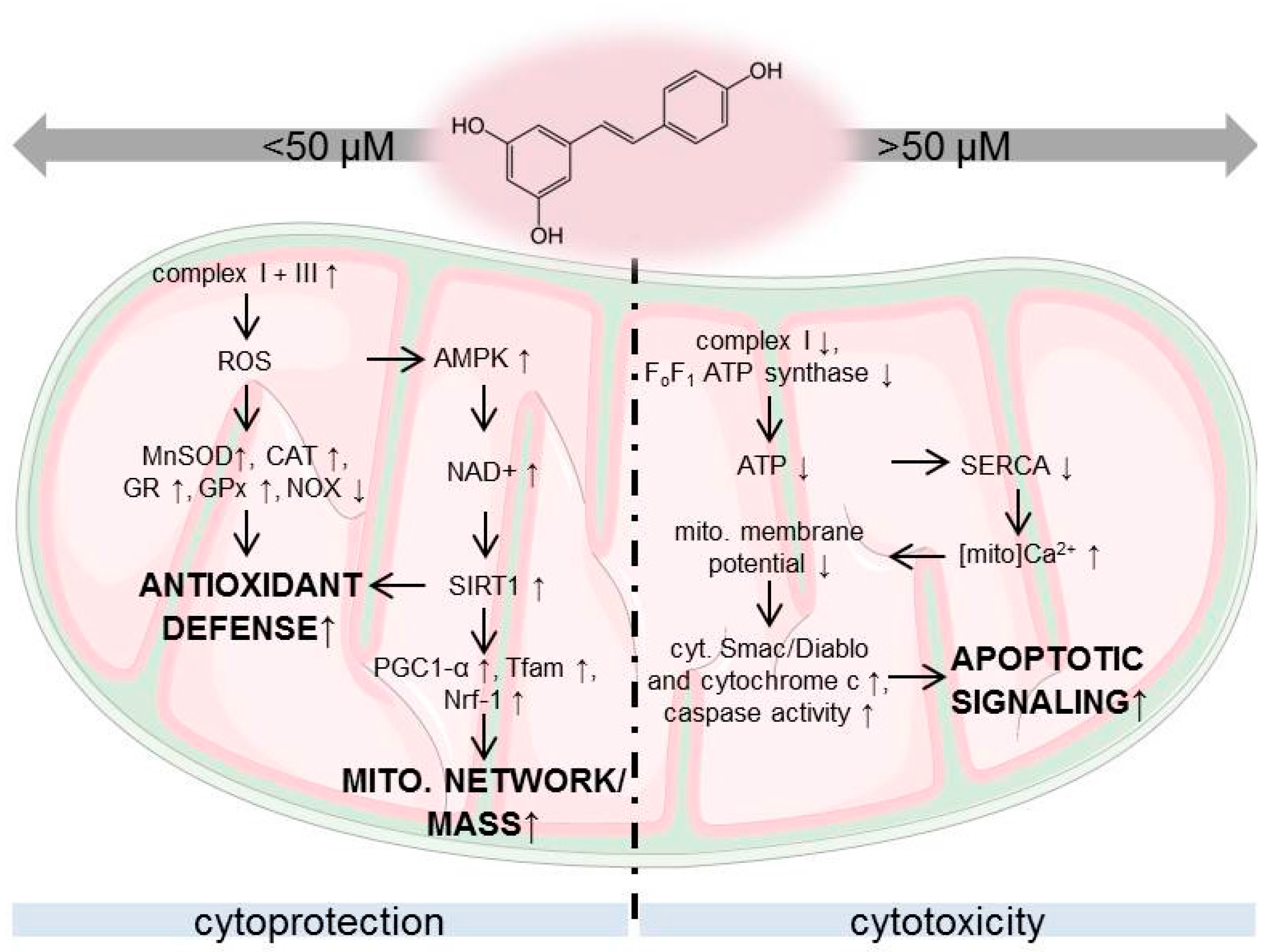 Nutrients free full text dosis facit sanitatem concentration dependent effects of resveratrol on mitochondria html