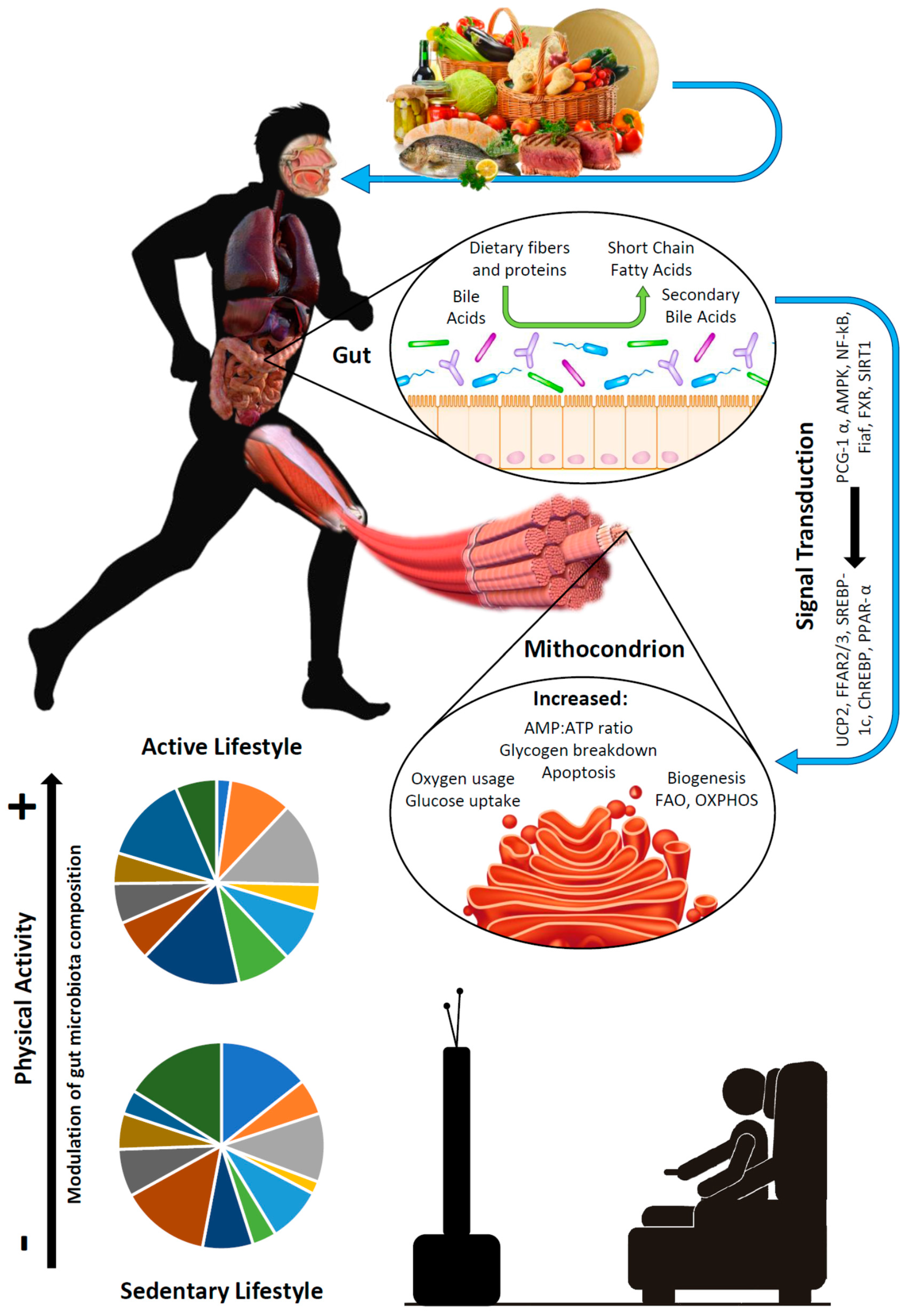 Aging Gut Microbiota At The
