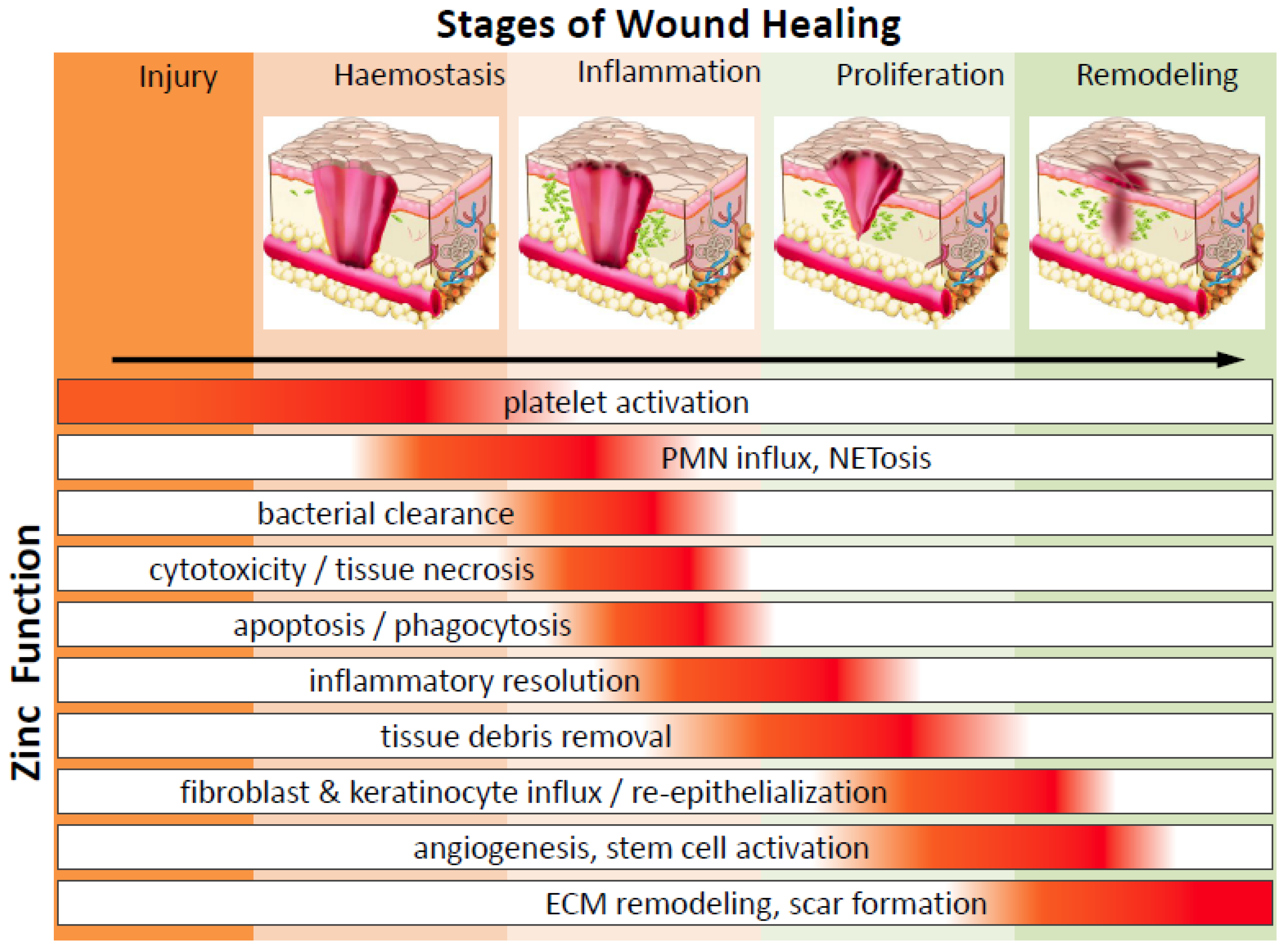 Nutrients Free Full Text Zinc In Wound Healing Modulation