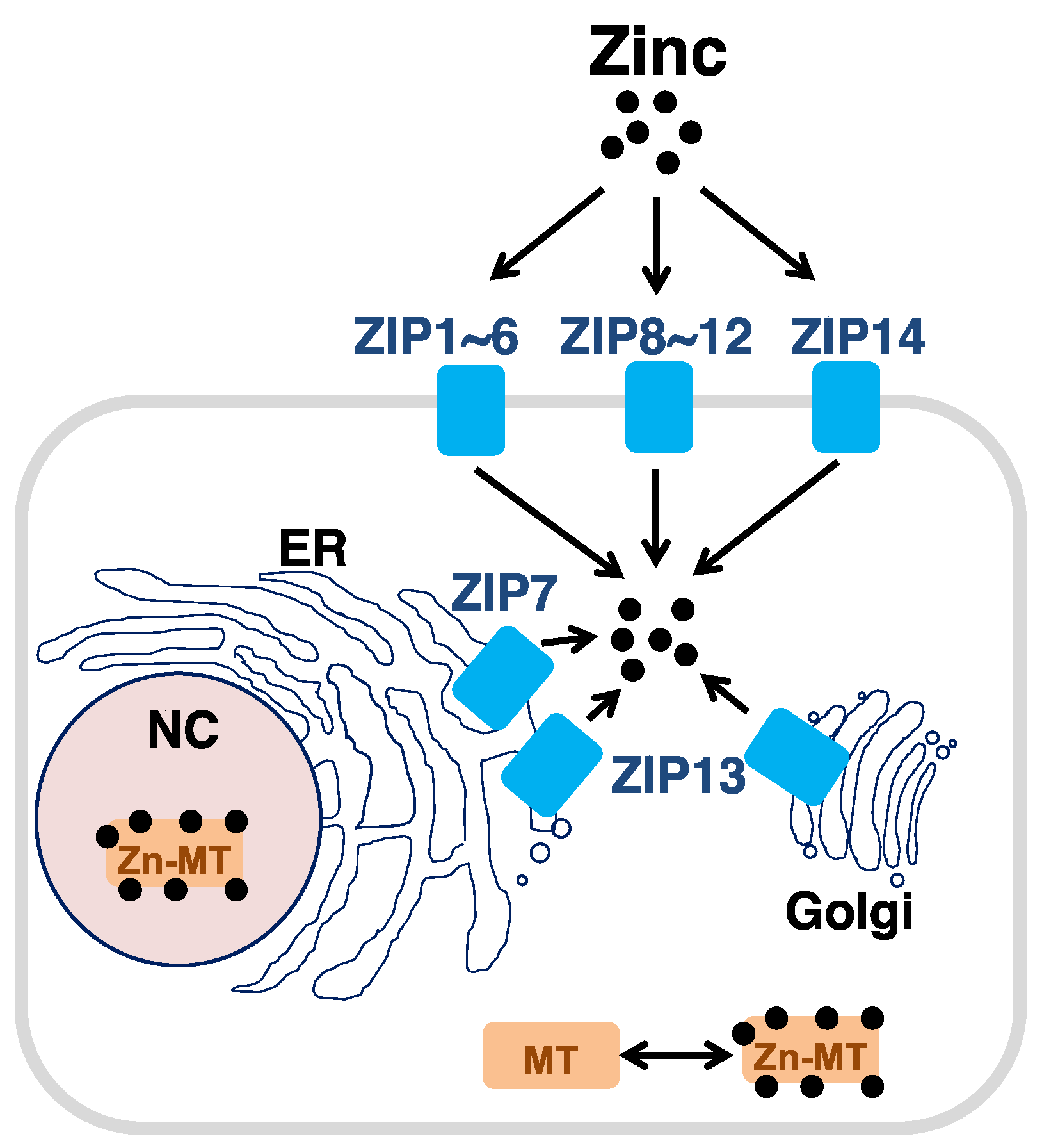 Nutrients Free Full Text The Role Of The Slc39a Family Of Zinc