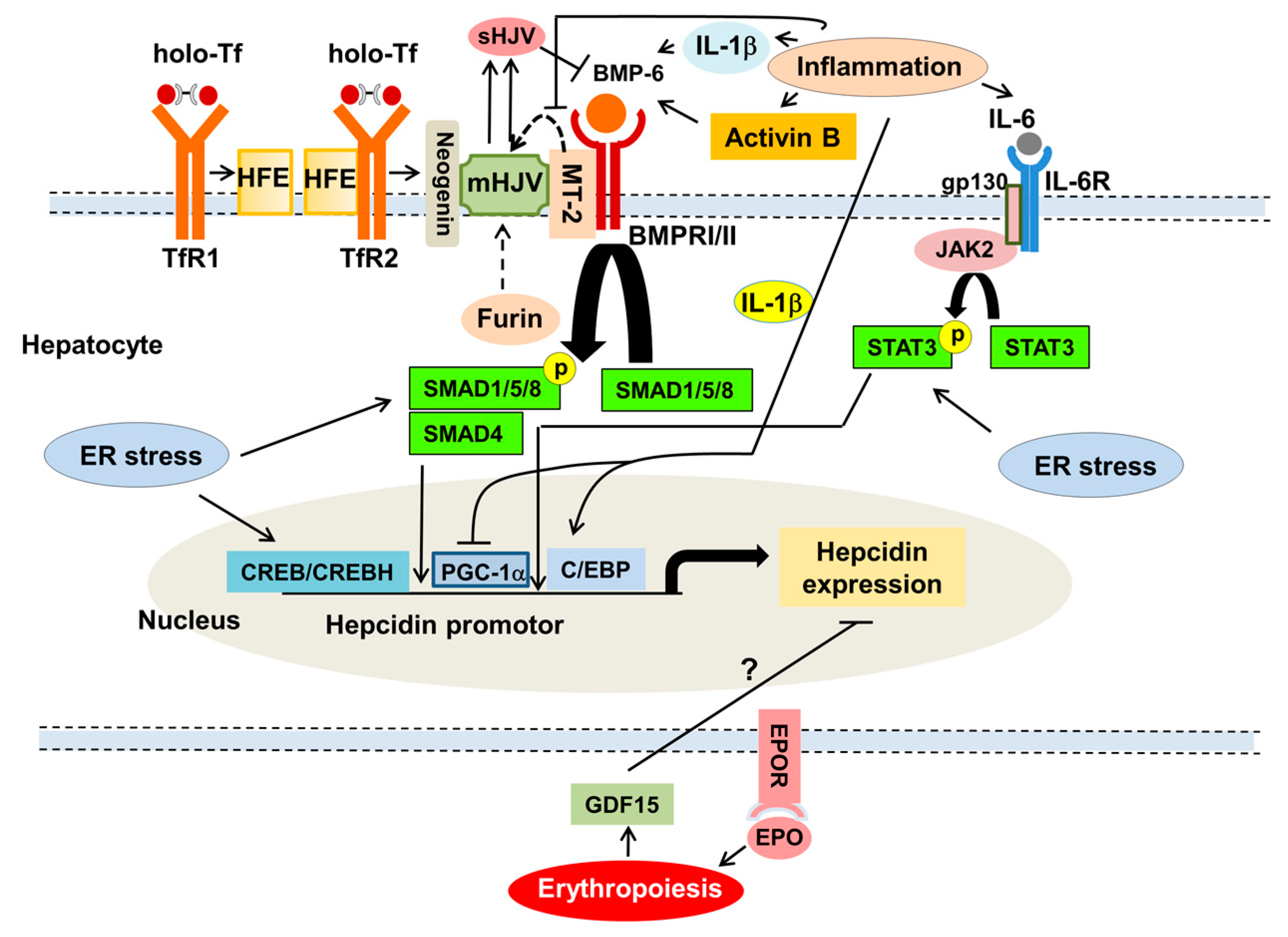 Nutrients Free Full Text Impact Of Inflammation On Ferritin