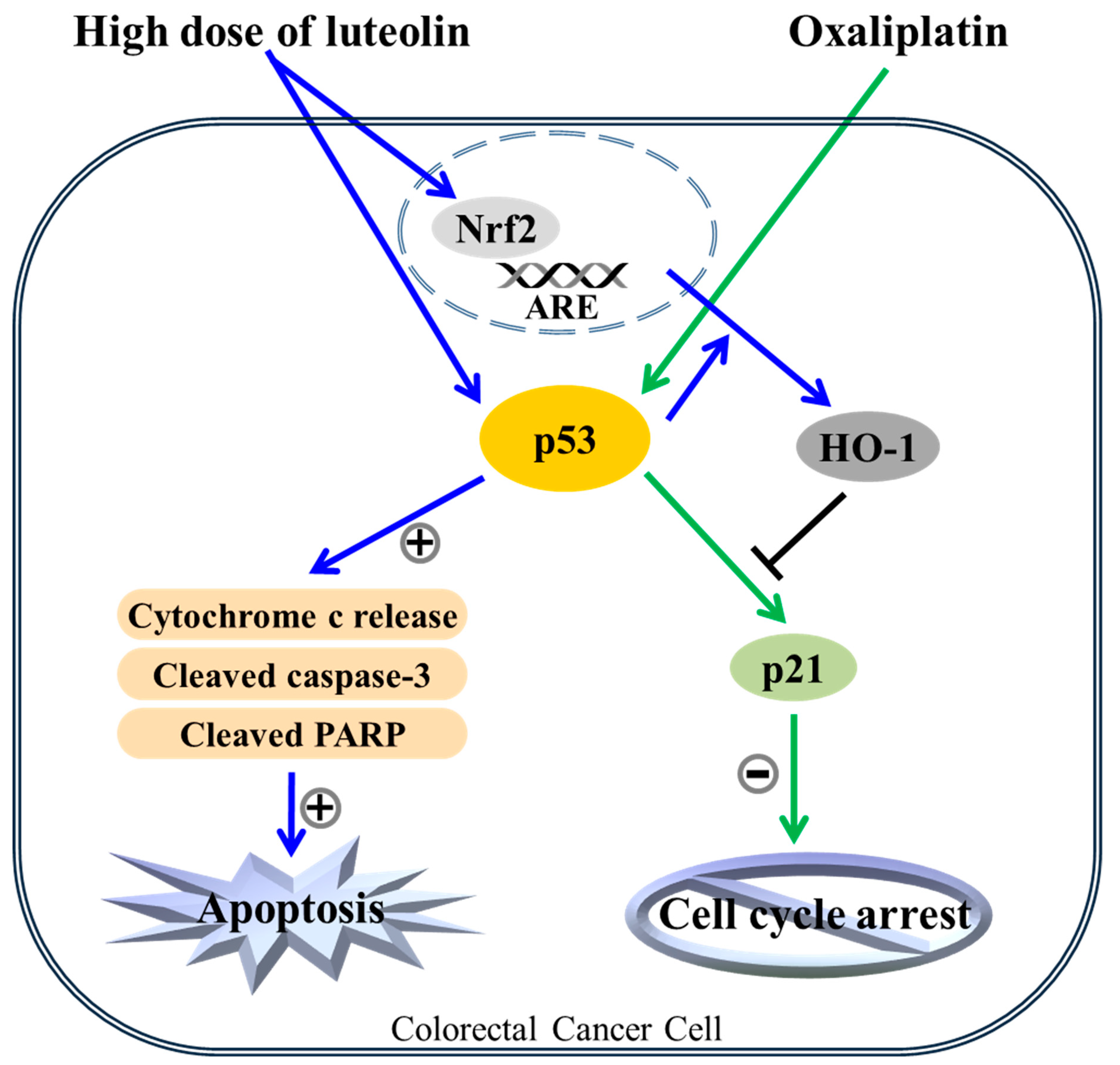 Nutrients Free Full Text Luteolin Shifts Oxaliplatin Induced Cell Cycle Arrest At G0 G1 To Apoptosis In Hct116 Human Colorectal Carcinoma Cells