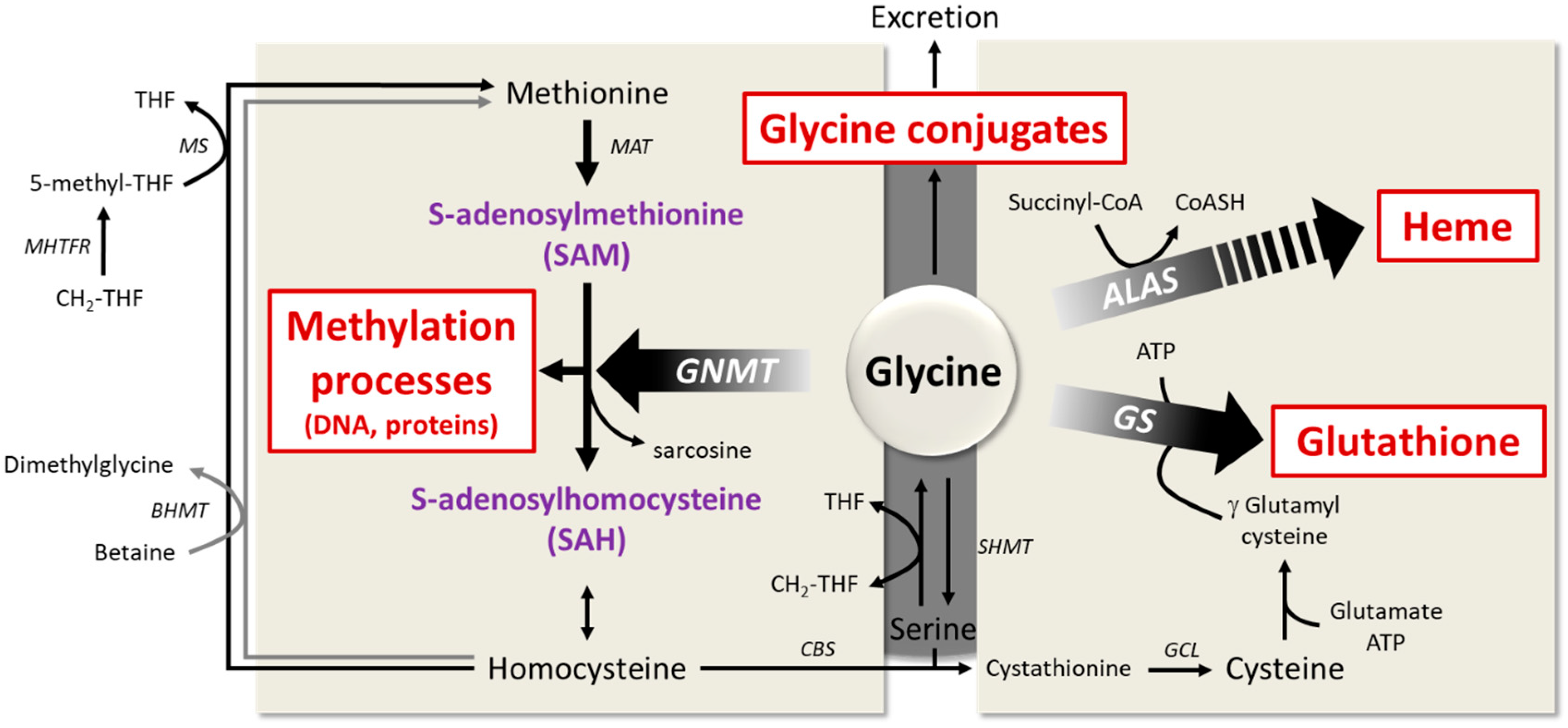 Nutrients | Free Full-Text | Glycine Metabolism and Its Alterations