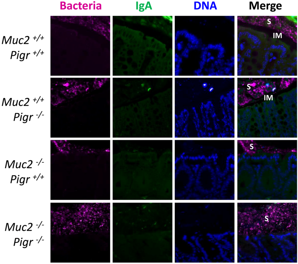 Pathogens Free Full Text Secretory Iga Is Concentrated