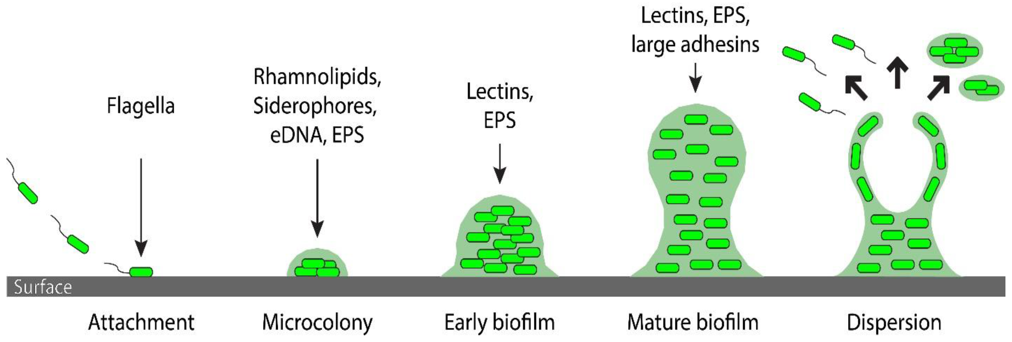 Bacterial Biofilm: Its Composition, Formation and Role in Human Infections